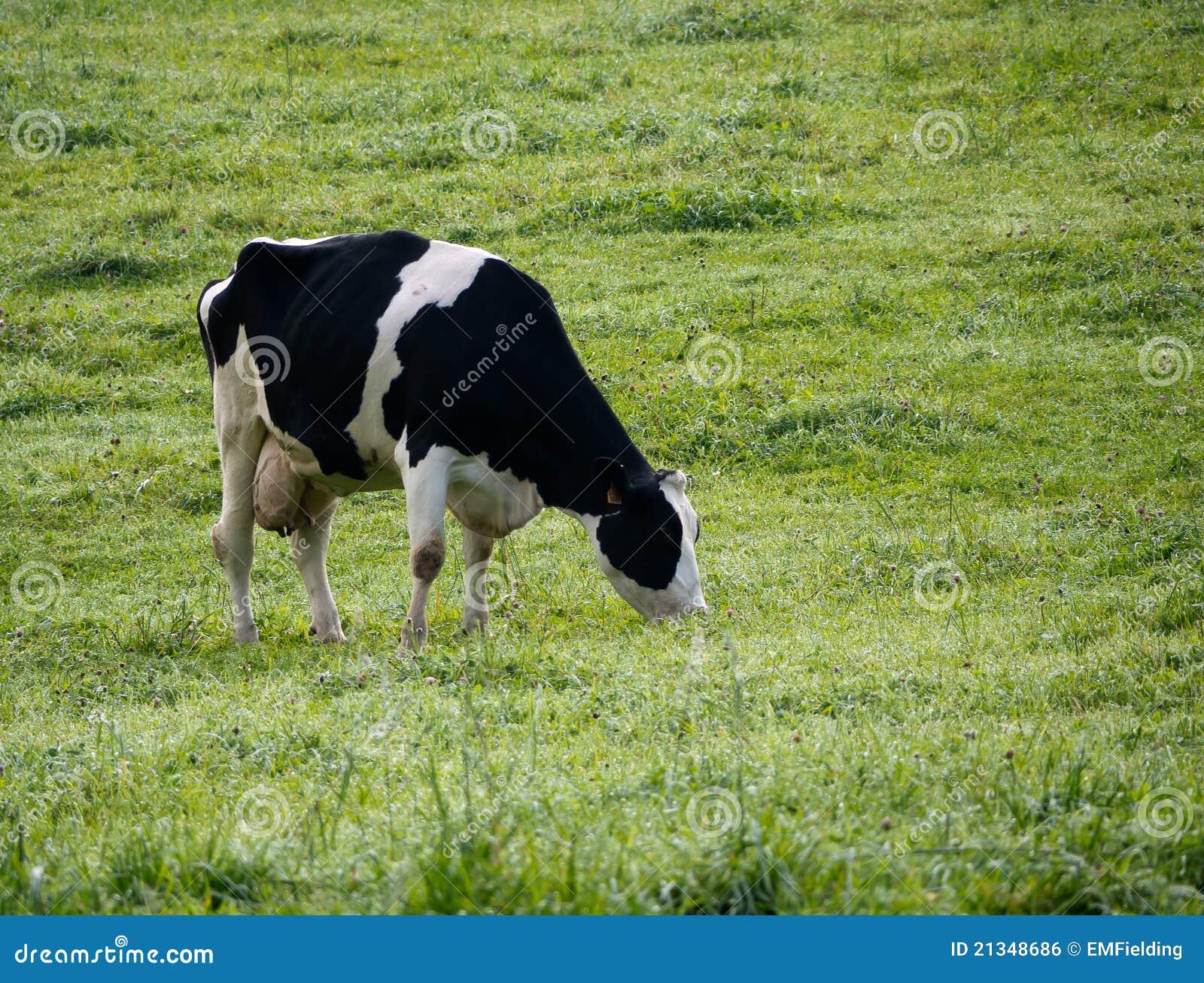 Holstein Dairy Cow In ...