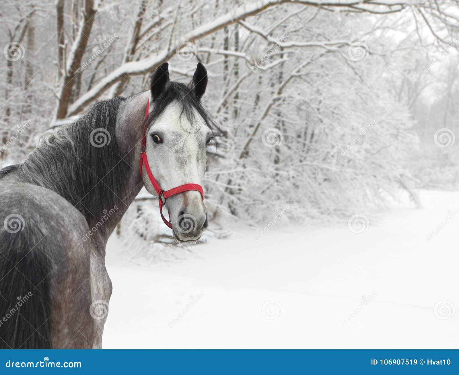 Holstein dressage koń Dapple szarość z uzdą