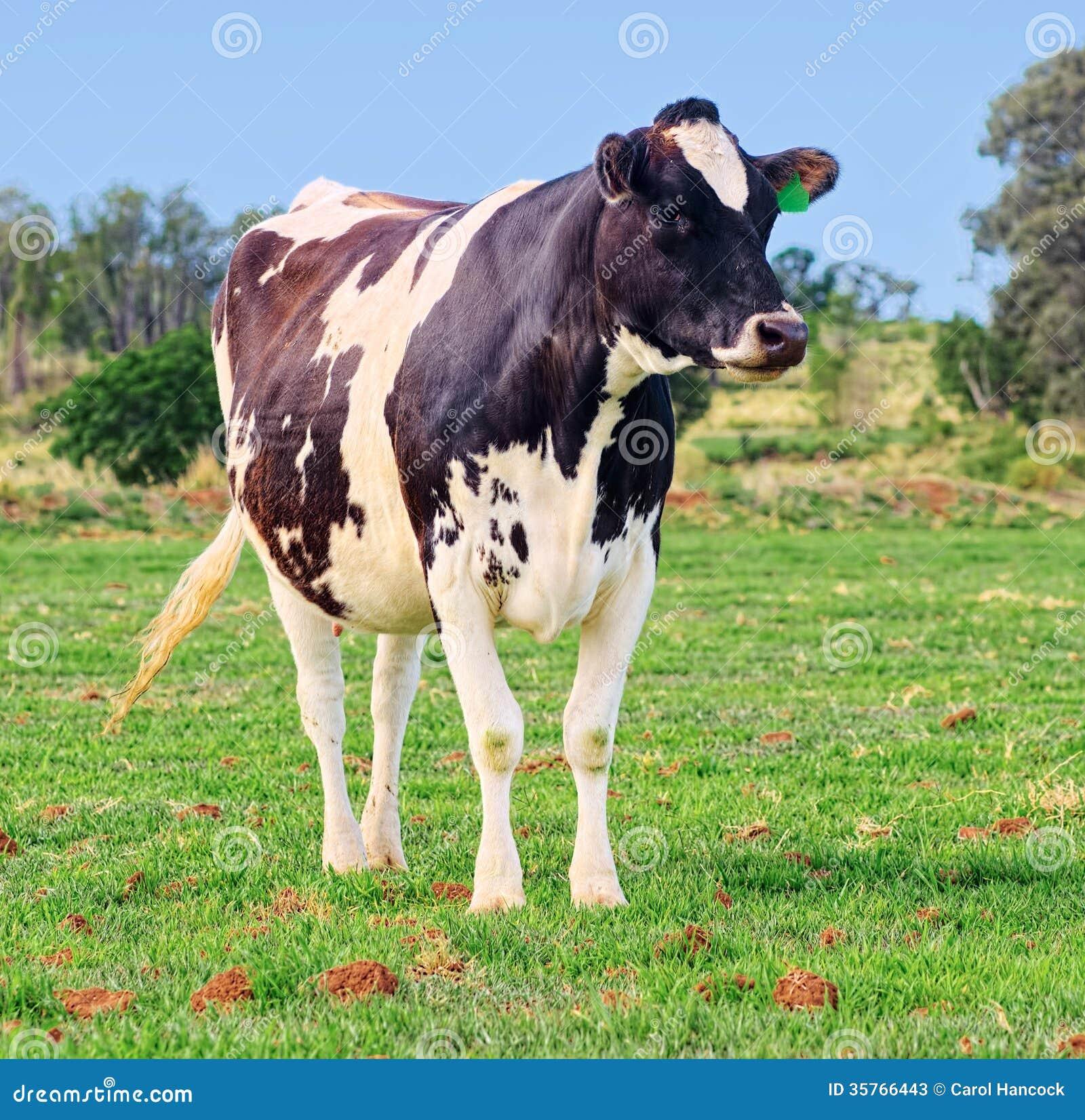 Holstein dairy cows