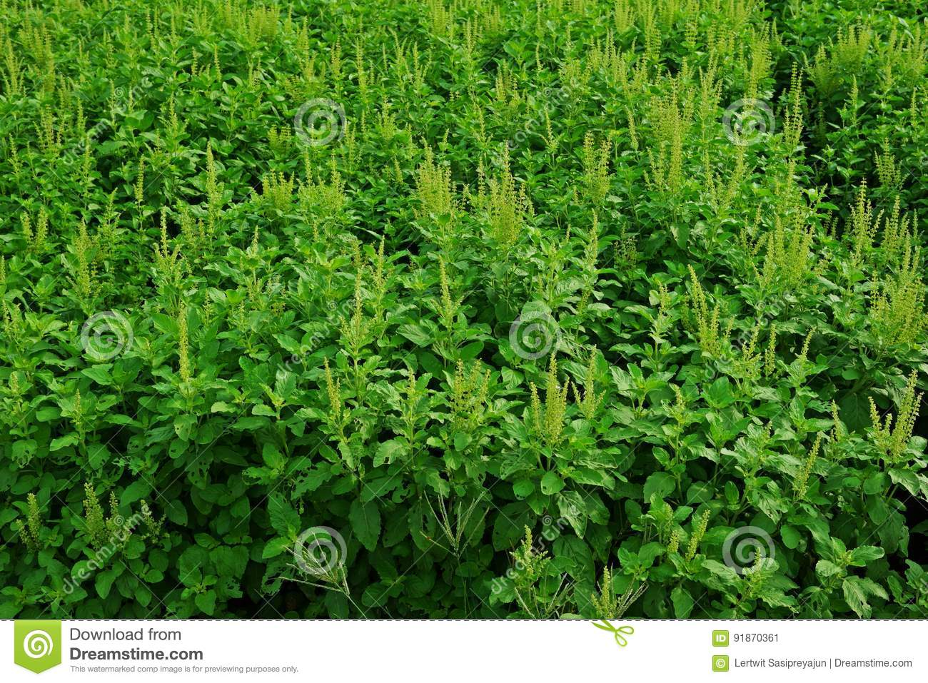Holy basil production field