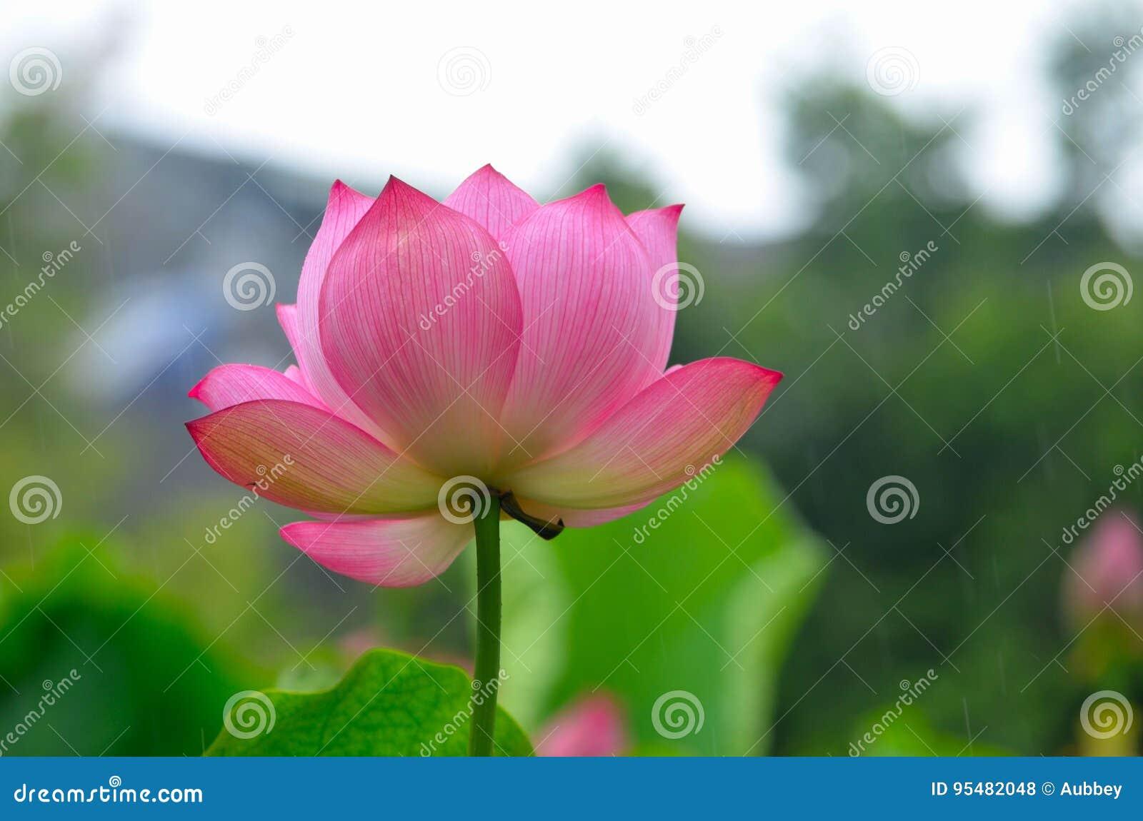 Holy lotus flower stock photo image of environment color 95482048 holy lotus flower izmirmasajfo Image collections