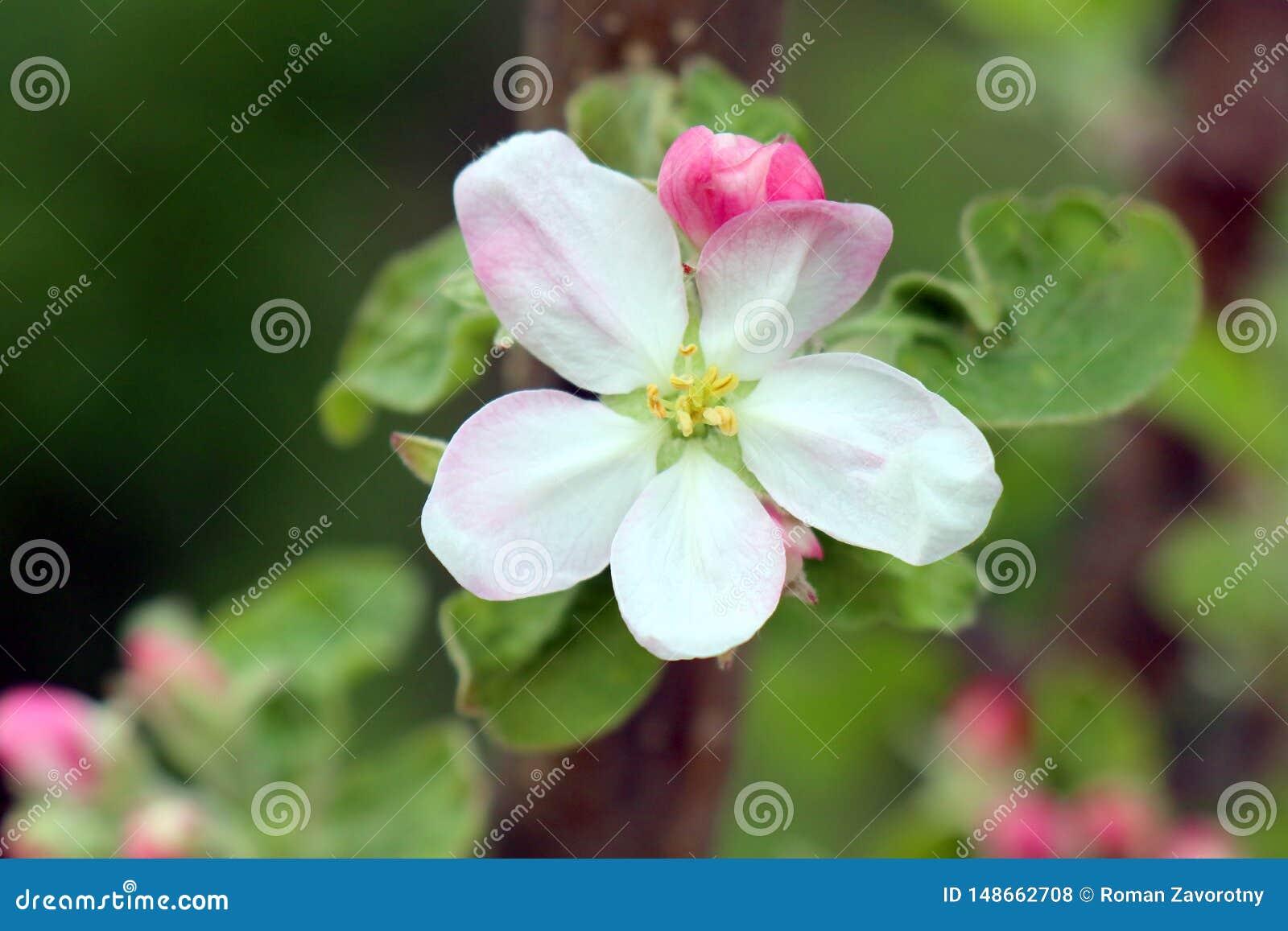 Holzapfelbaum in voller Bl?te Alle Niederlassungen werden mit den Knospen und den frischen wei?en und rosa Blumen gestreut Freude