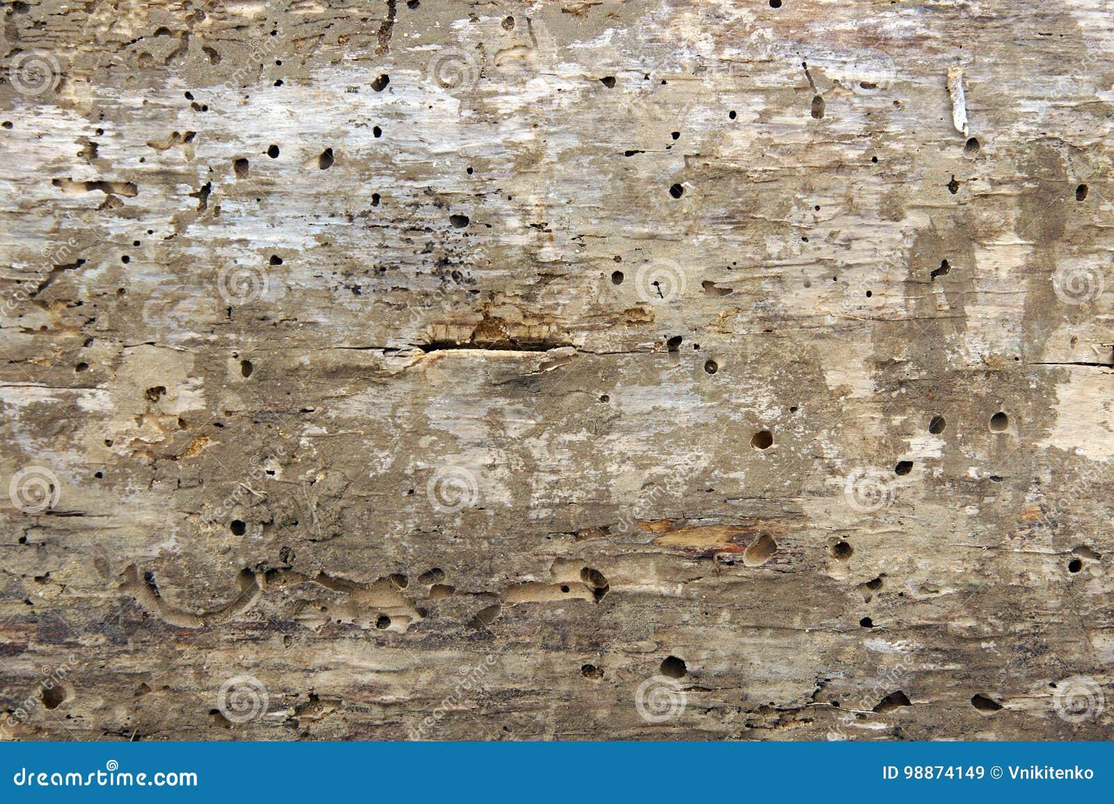 Holzwurmlöcher und -bauten