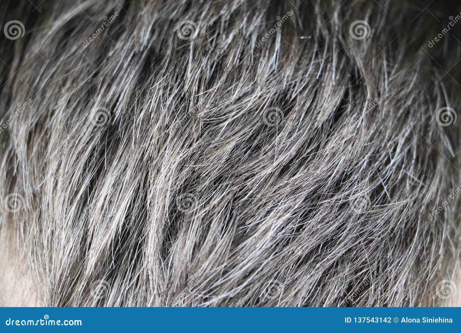 Hombre caucásico hermoso maduro con el pelo gris