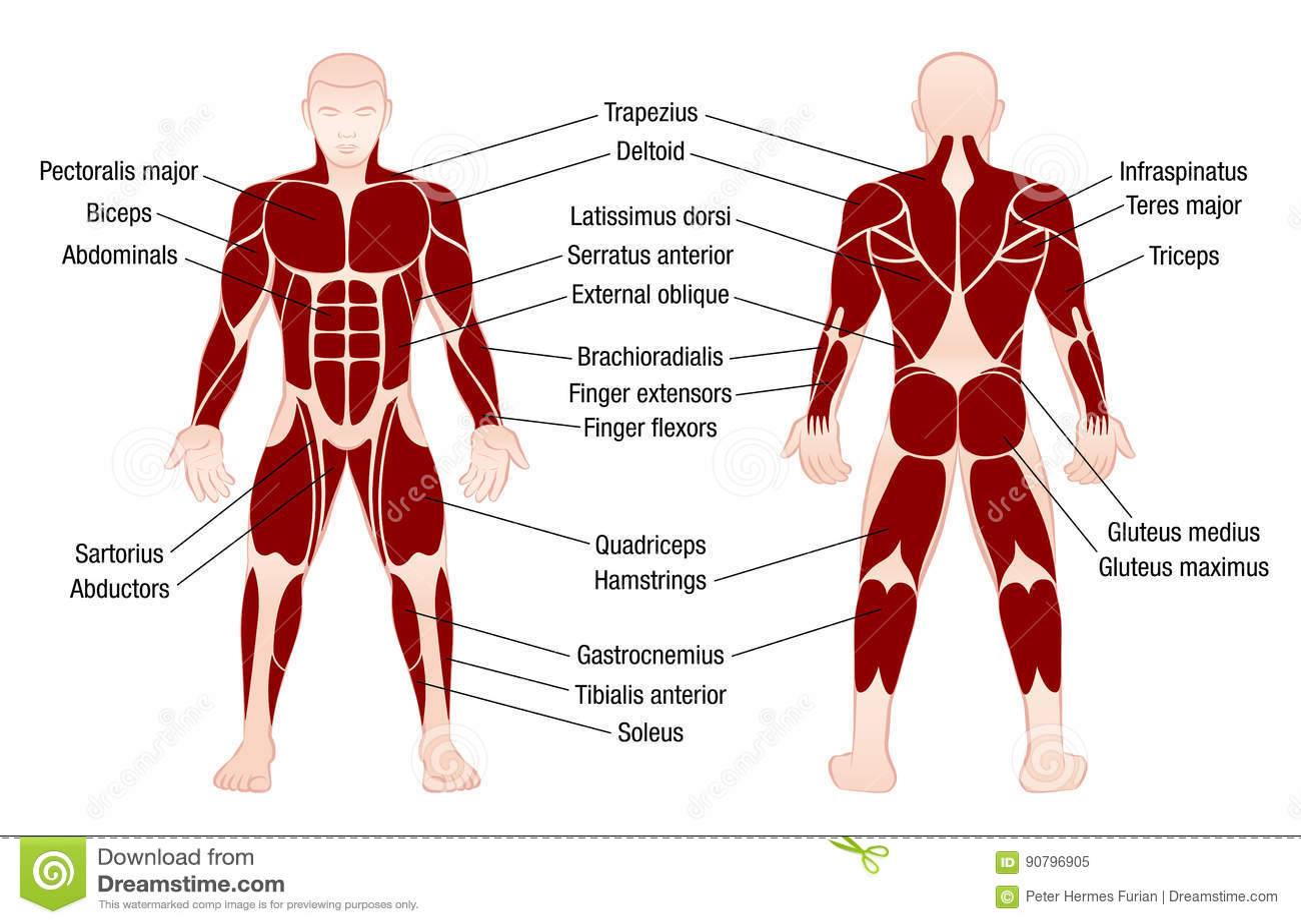 Atractivo Cartas Musculares Anatomía Ilustración - Imágenes de ...