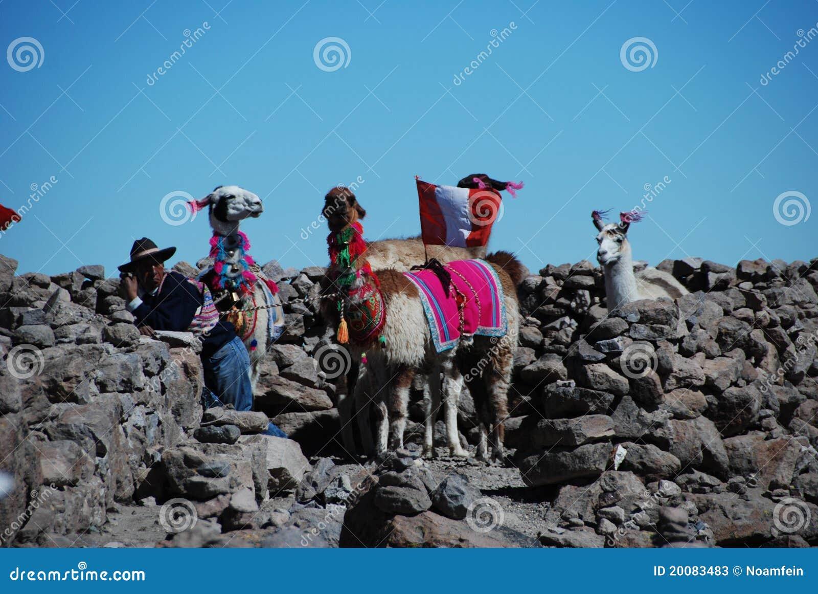Hombre peruano de la indigencia con los lamas