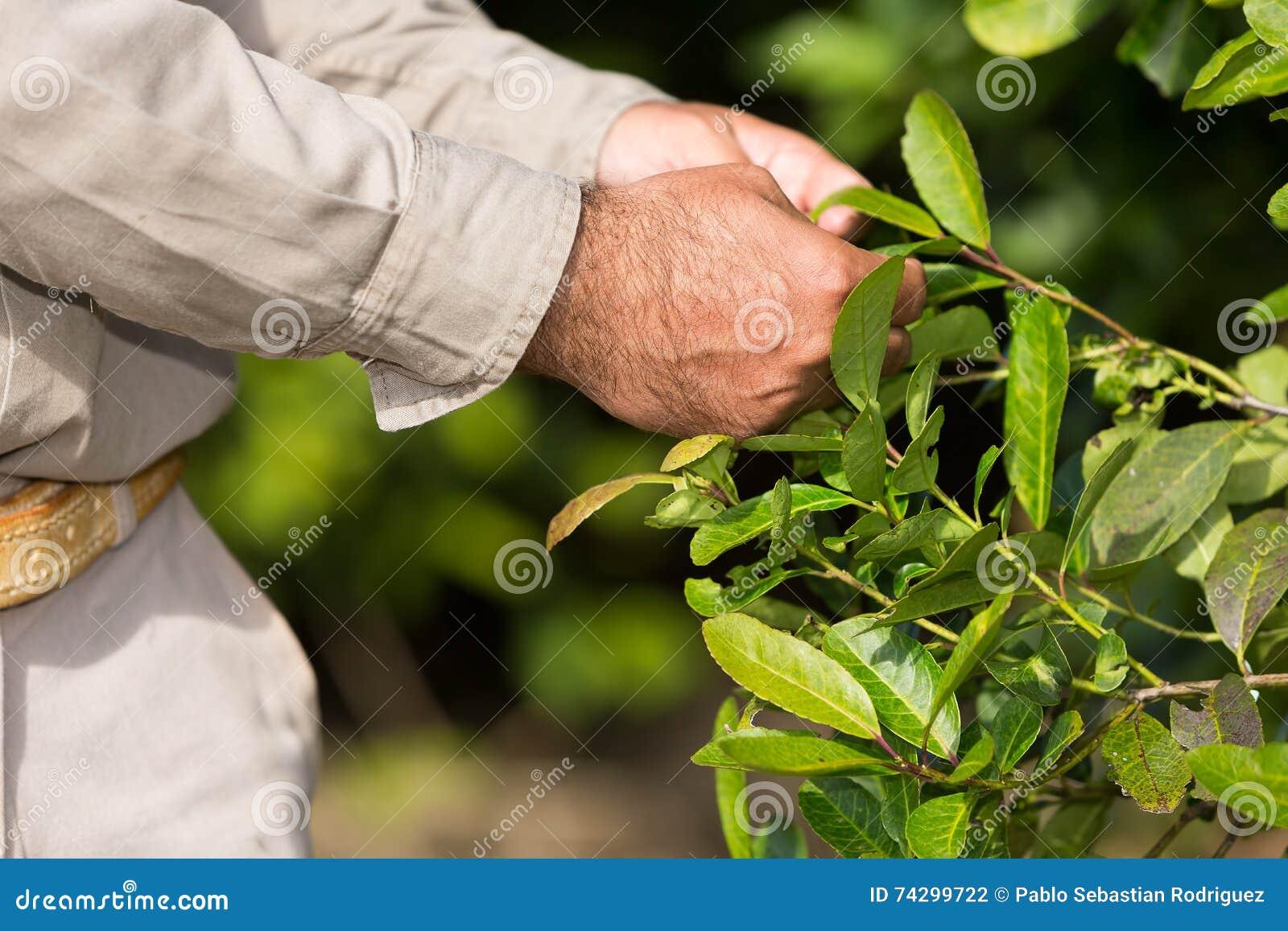 Hombre que trabaja en una plantación del compañero del yerba