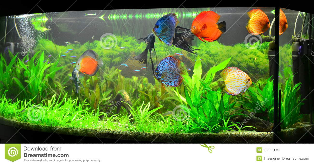 home aquarium with discus fish and plants stock image image of rh dreamstime com beautiful fishes for aquarium