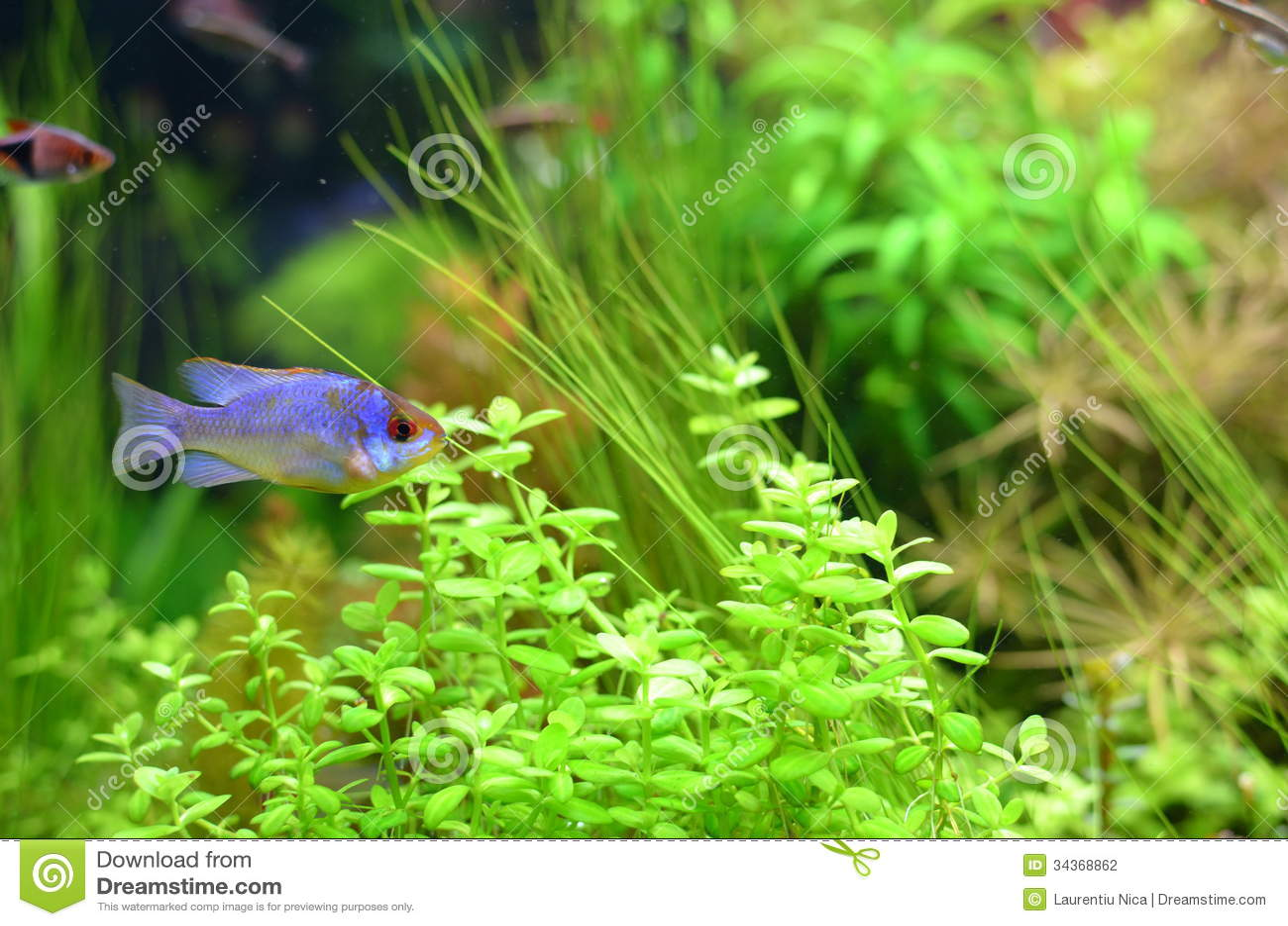 Fish for aquarium at home - Home Aquarium