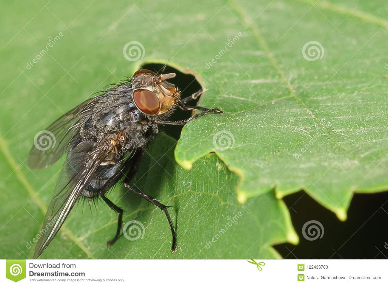 Home fly lat musca domestica family of true flies lat muscidae on a green leaf a common synanthropic organism