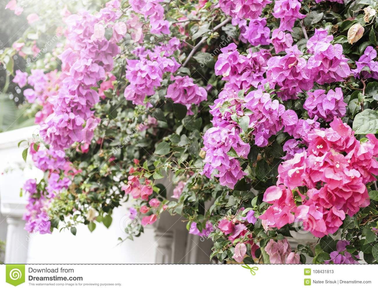 Home And Garden Concept Of Bougainvillea Or Paper Flower Stock Image