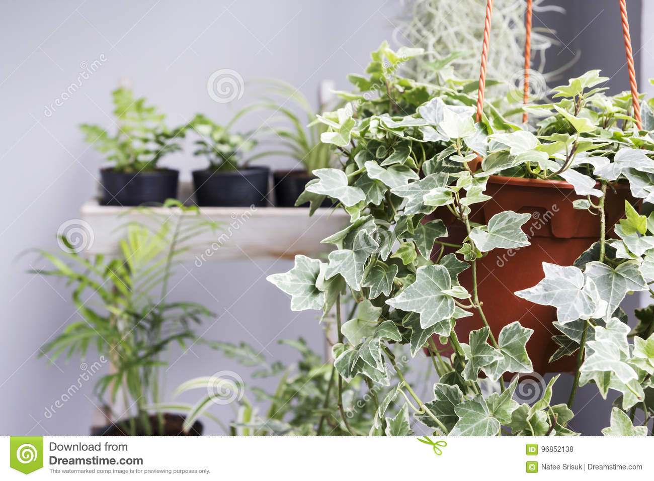 Home And Garden Concept Of English Ivy Plant In Pot Stock ... Ivy House Plant Pot on ivy houseplant, yucca elephantipes house plant, ivy water plant, ivy ice plant, ivy flower, ivy indoor plant,