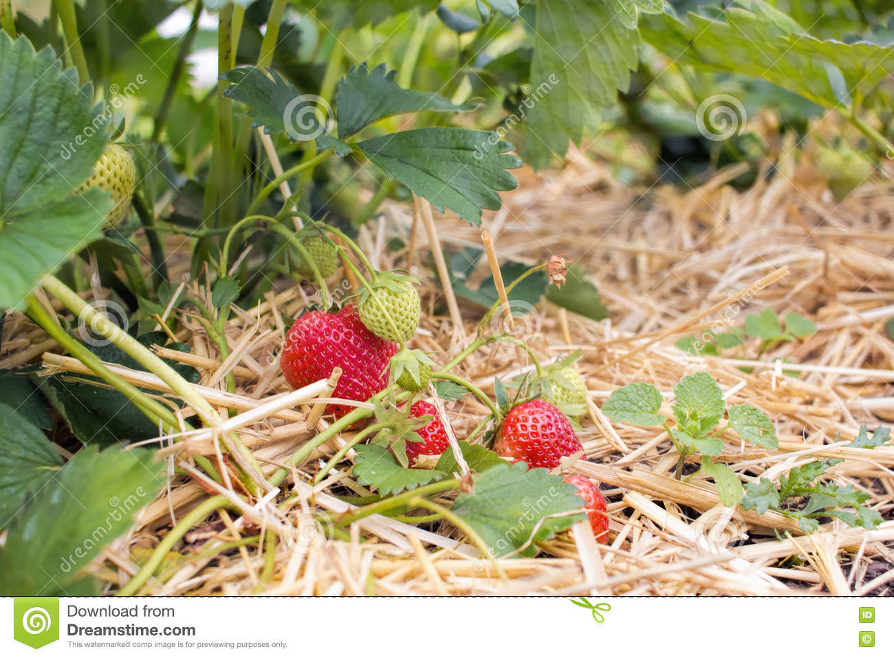 Home Grown Strawberries Fruit And Vegetable Garden Stock Image