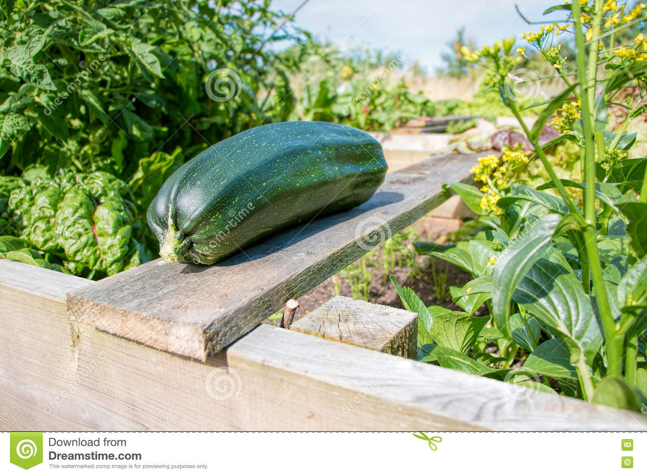 Home produce garden - Royalty Free Stock Photo Download Home Grown Zucchini In Vegetable Garden