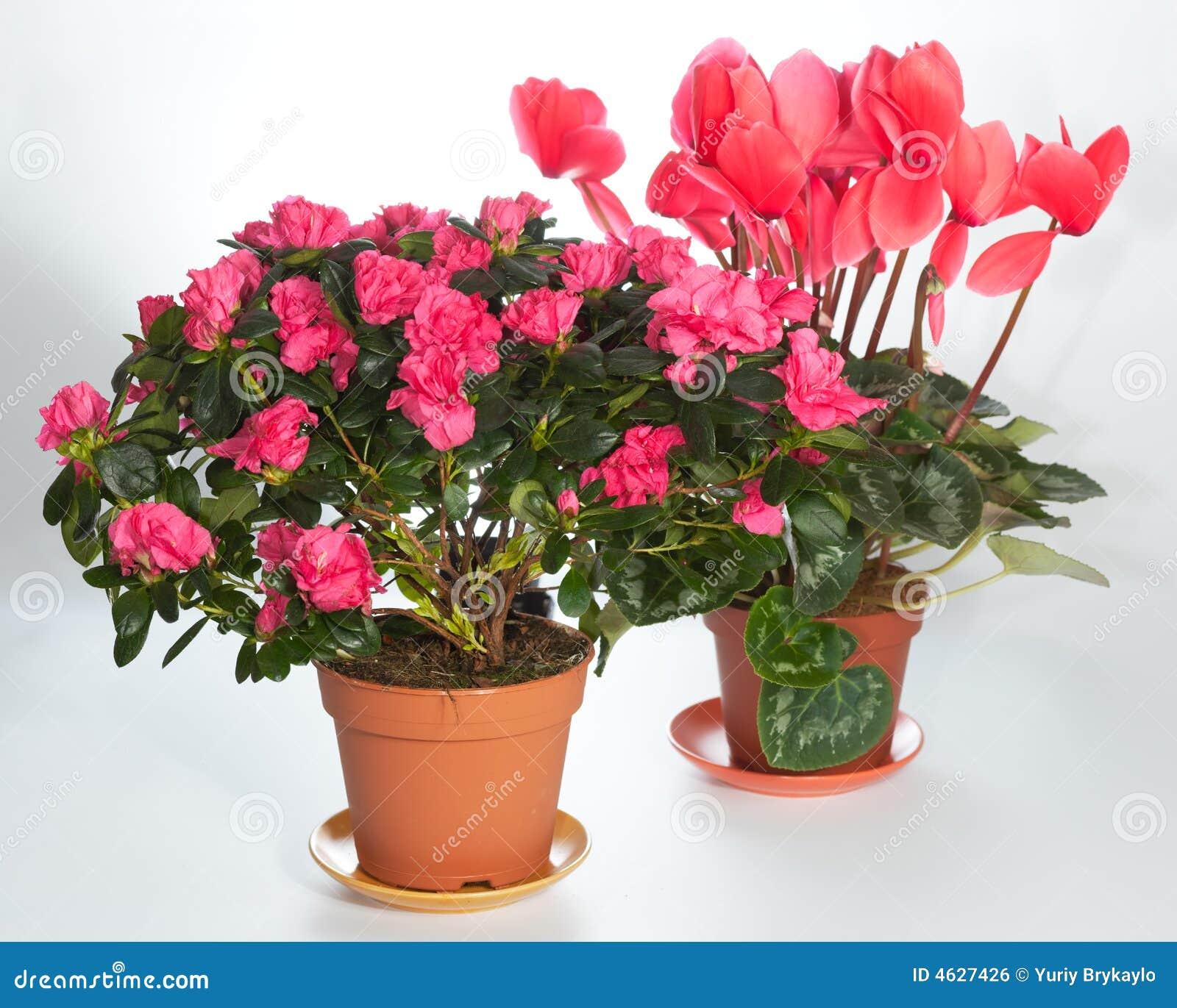 A HOME planta o grupo (azálea, Cyclamen)