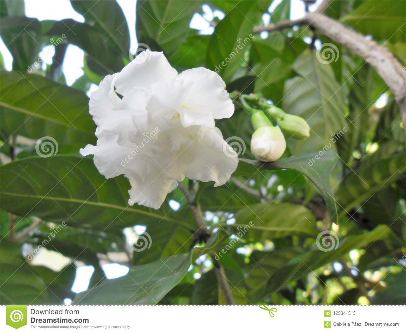 Malabar jasmine flower in a venezuelan garden stock image image of download malabar jasmine flower in a venezuelan garden stock image image of first yearits izmirmasajfo