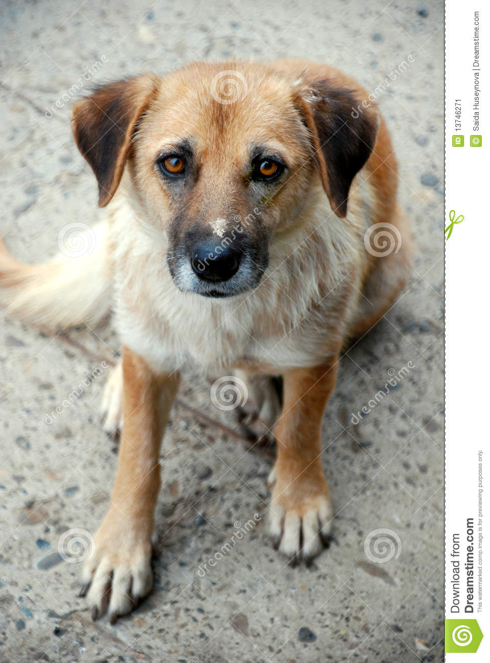 Homeless Dog Stock Image - Image: 13746271