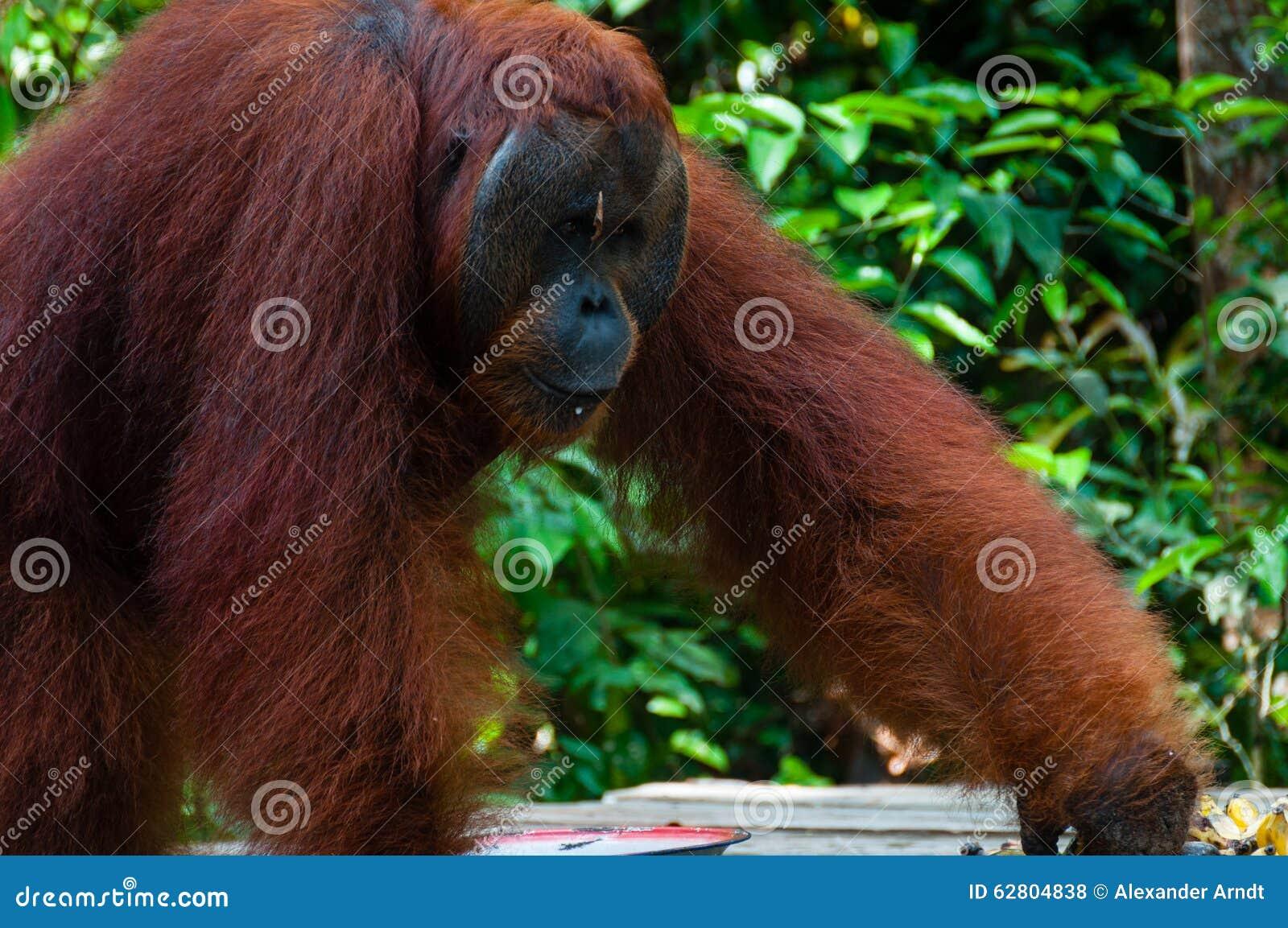 Homem alfa de Utan do orangotango que está em Bornéu Indonésia