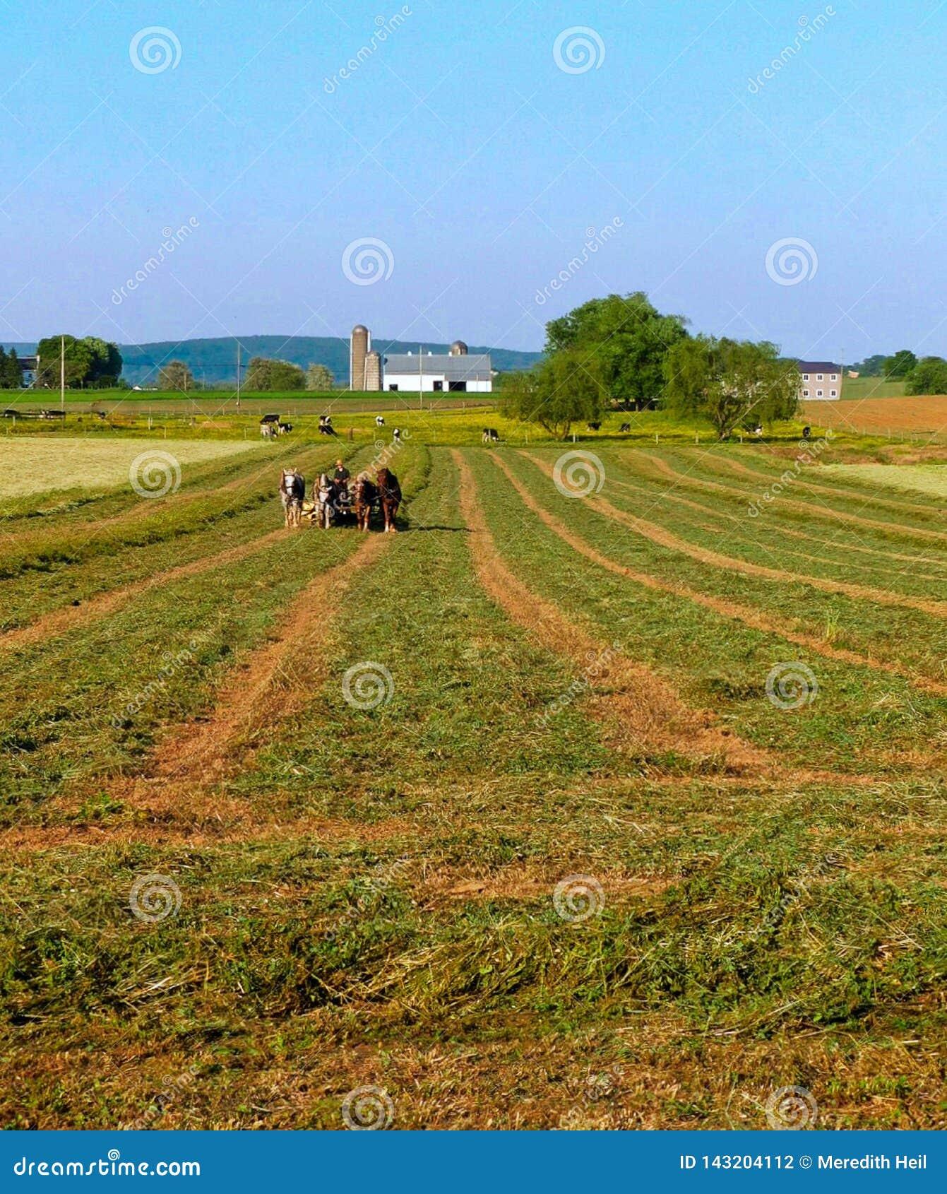 Homem Amish e uma equipe de quatro cavalos para arar um campo da alfafa