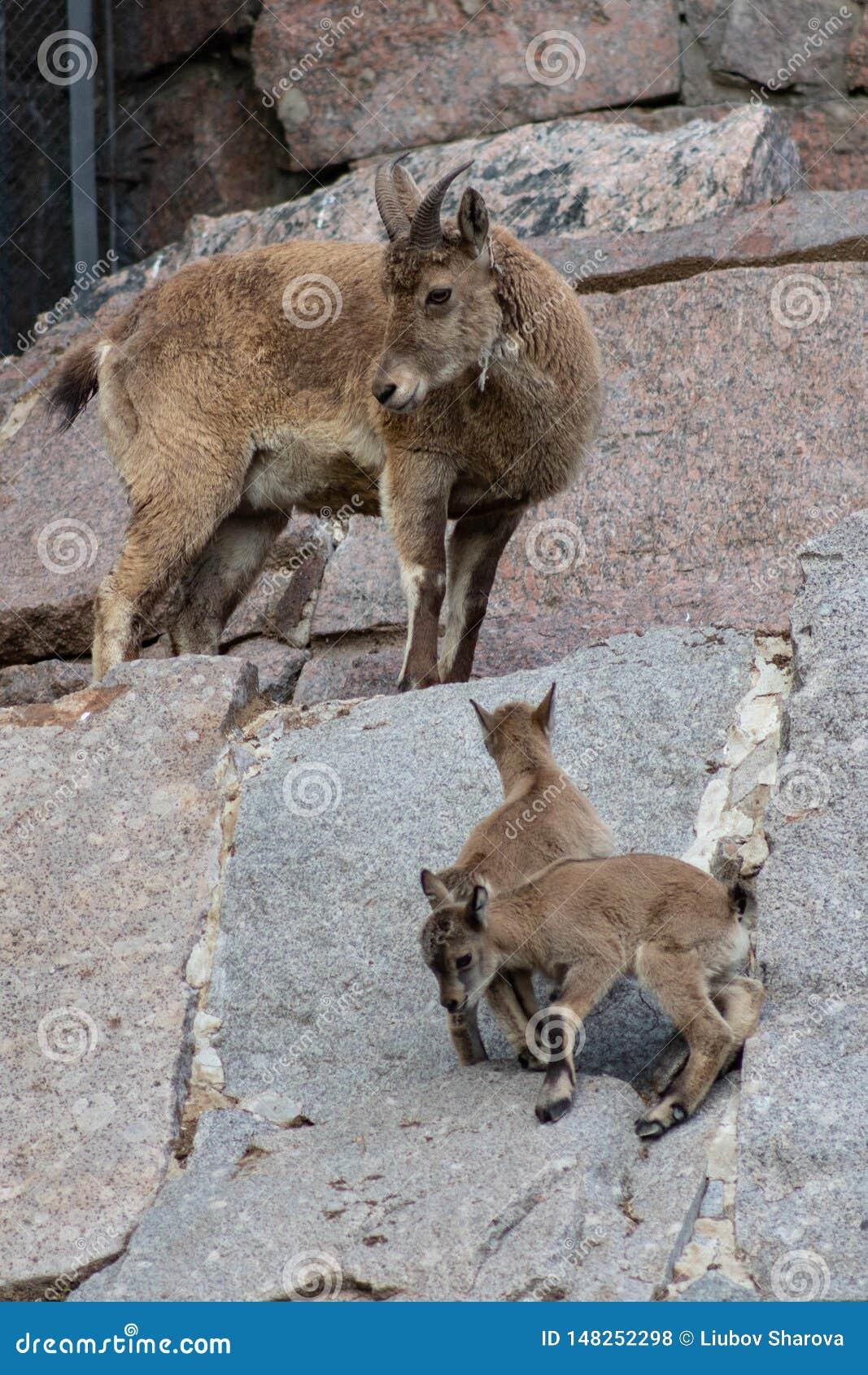 Homem caucasiano do leste novo do tur na pedra Nome latino - cylindricornis que da cabra a criança da excursão caucasiano do lest
