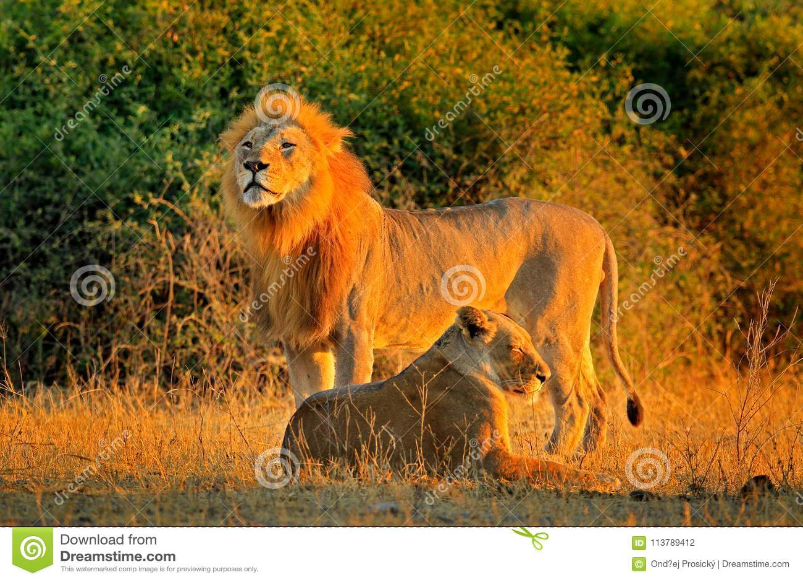 Homem e fêmea, nivelando o sol alaranjado, durante o por do sol, parque nacional de Chobe, Botswana, África Leão africano, bleyen
