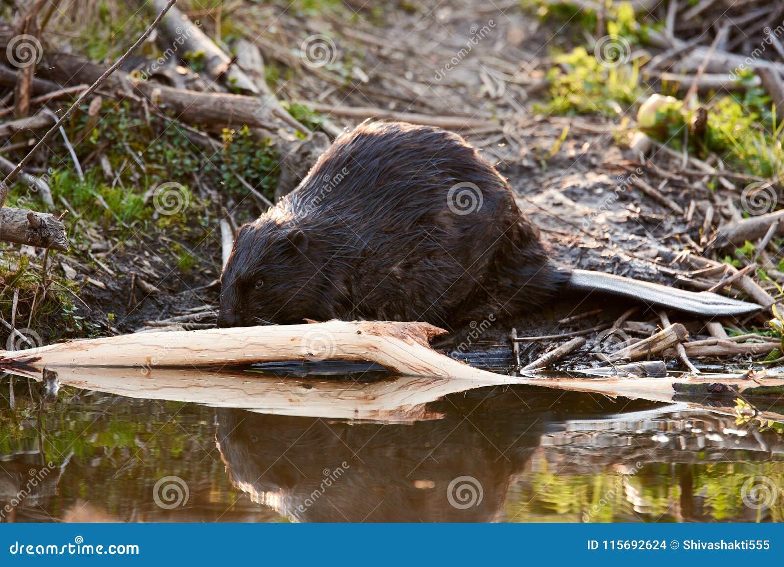 Homem europeu do castor que alimenta na noite