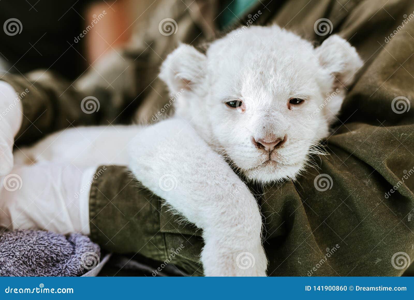 Homem no revestimento verde que guarda o leão branco peludo bonito