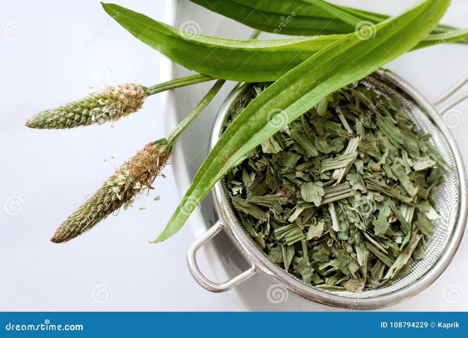 Homemade remedy - herbal plantain tea plantago lanceolata - he