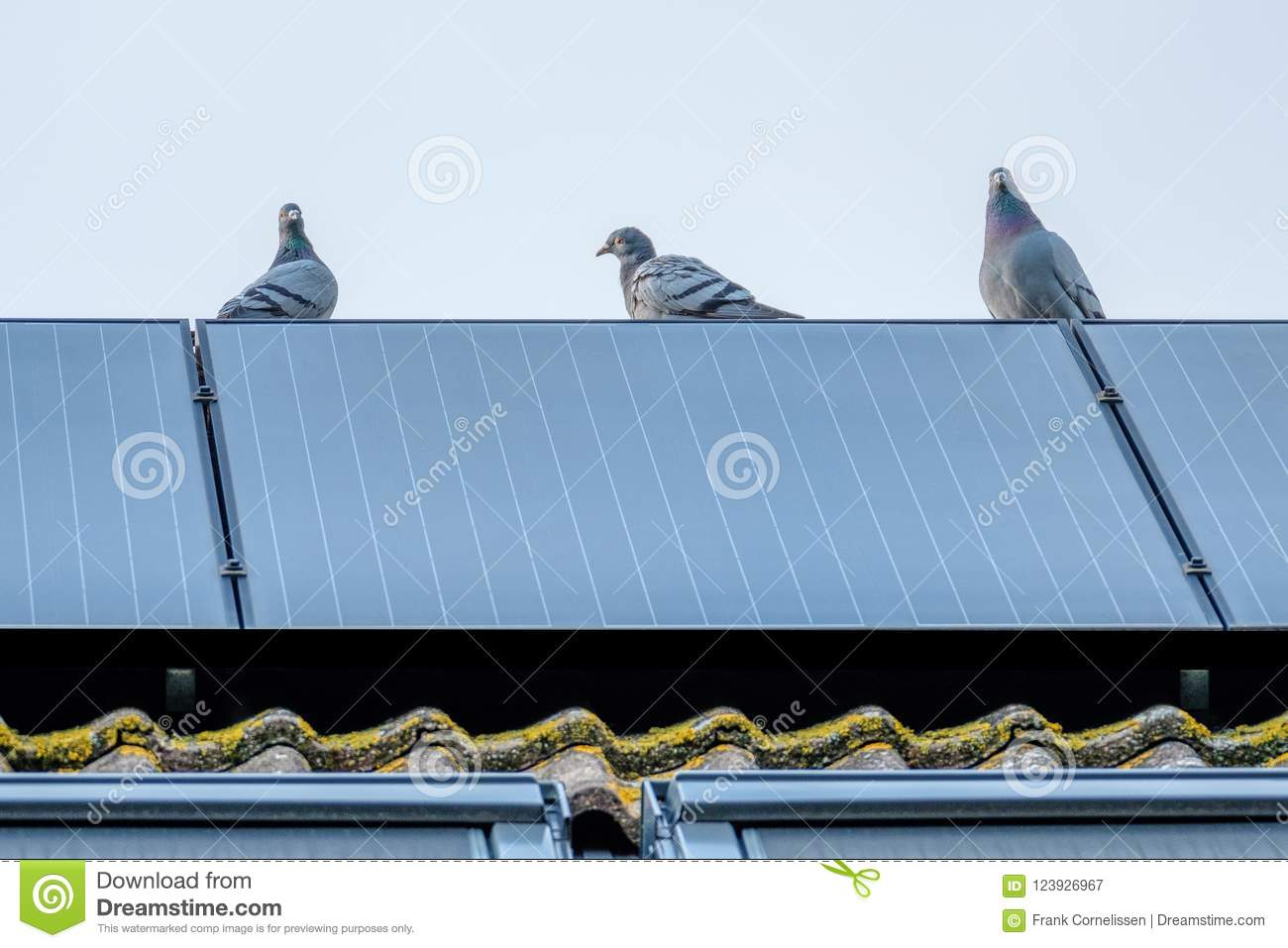 Homing Pigeons Enjoy The View From A Solar Panel  Stock