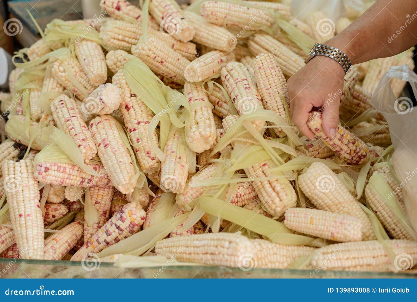 Homme choisissant le maïs mûr