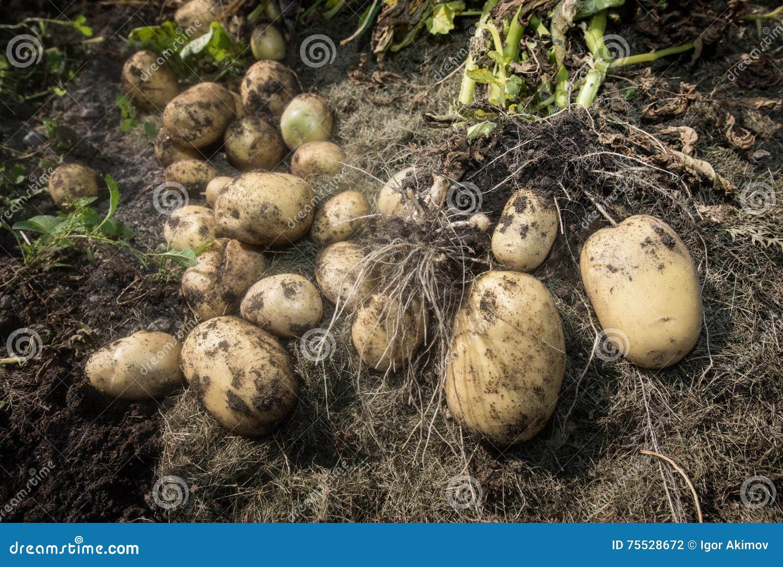 Homme et pommes de terre pluss âgé