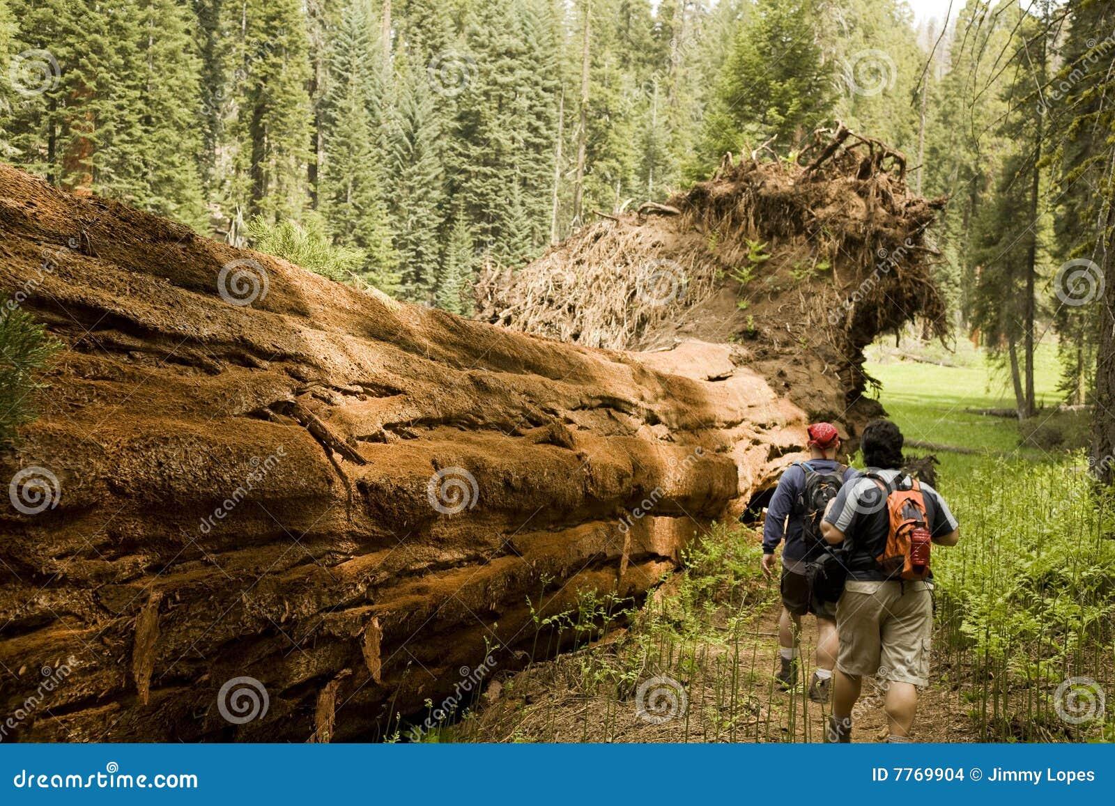 Hommes trimardant le long de l arbre tombé de séquoia