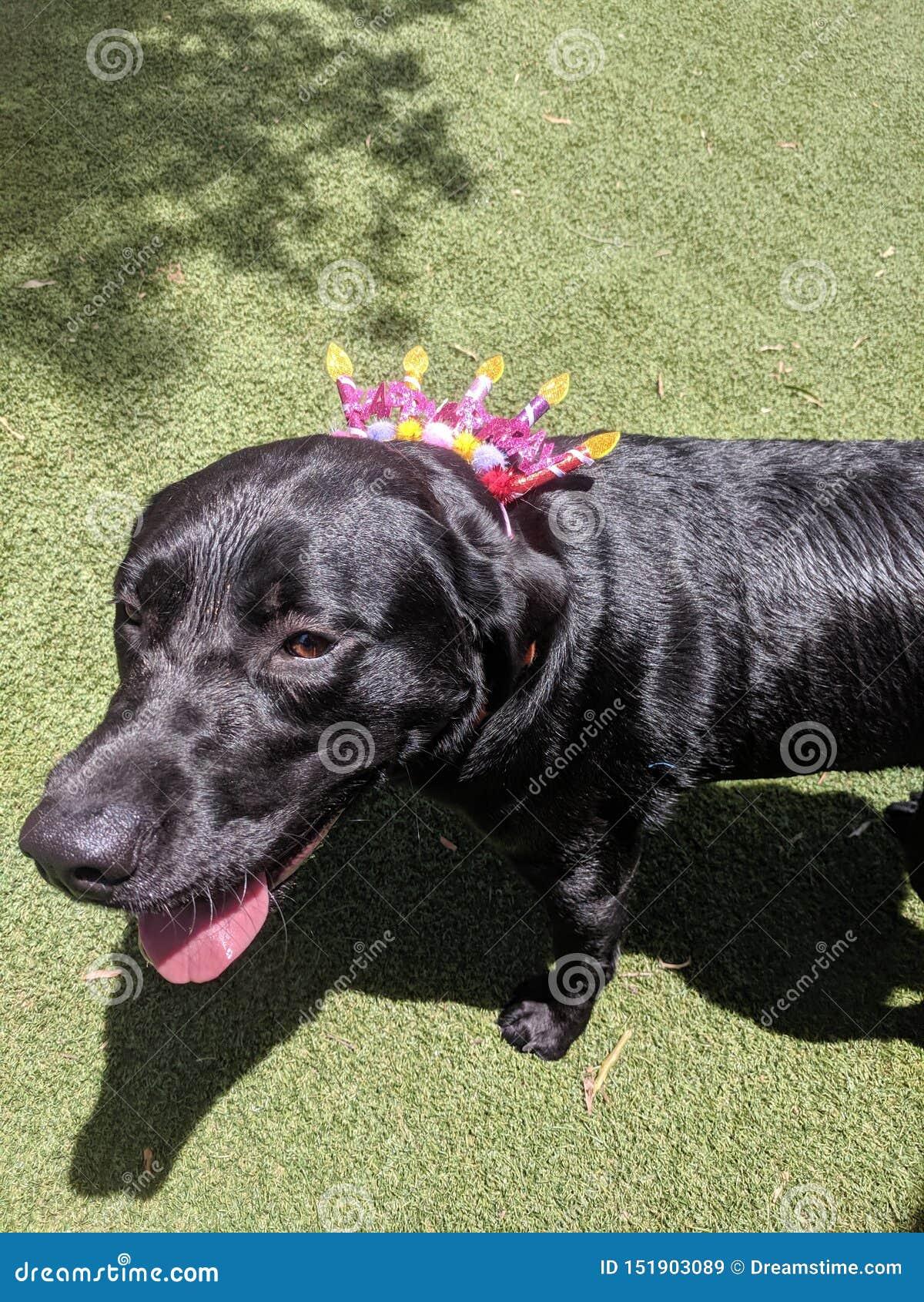 Hond 9