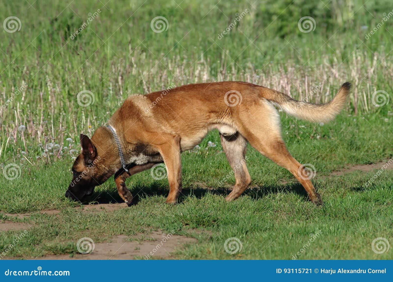 Hond - Belgische Malinois