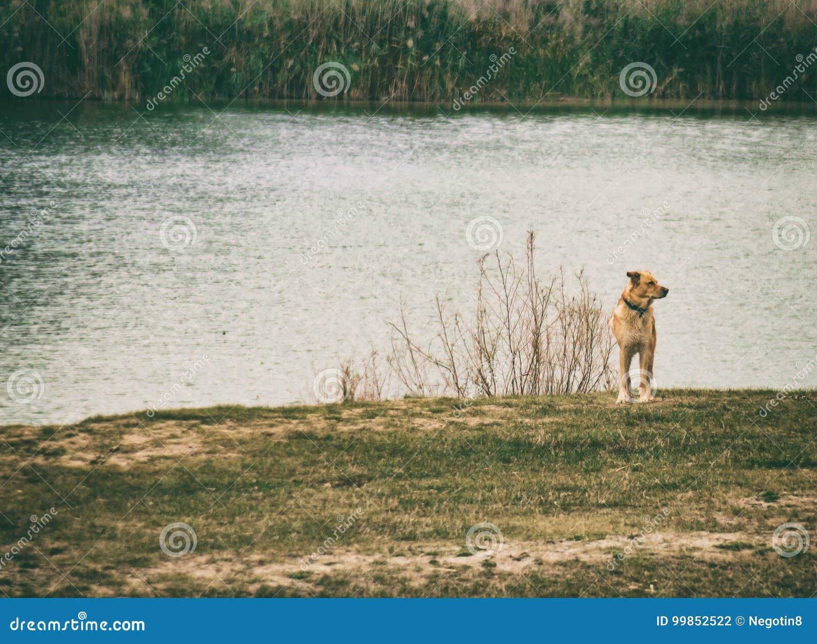 Hond bij meer, alleen