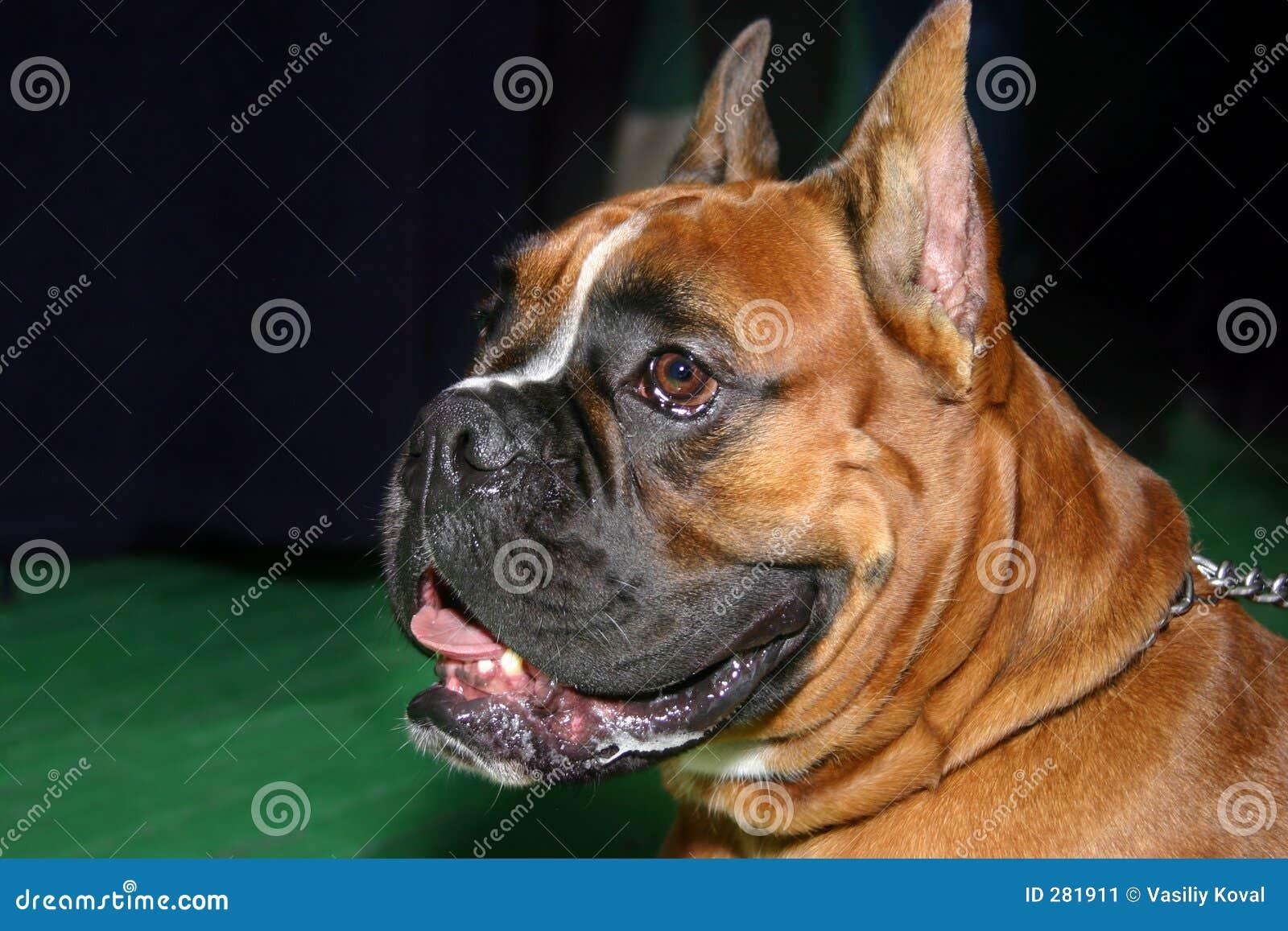 Hond - bokser