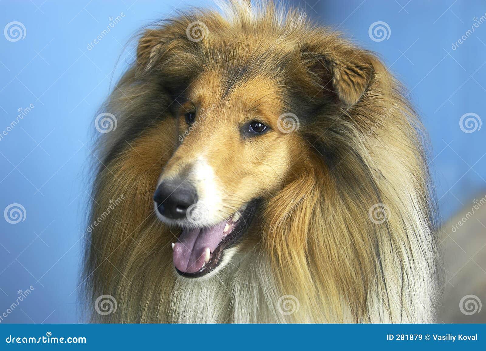 Hond - collie