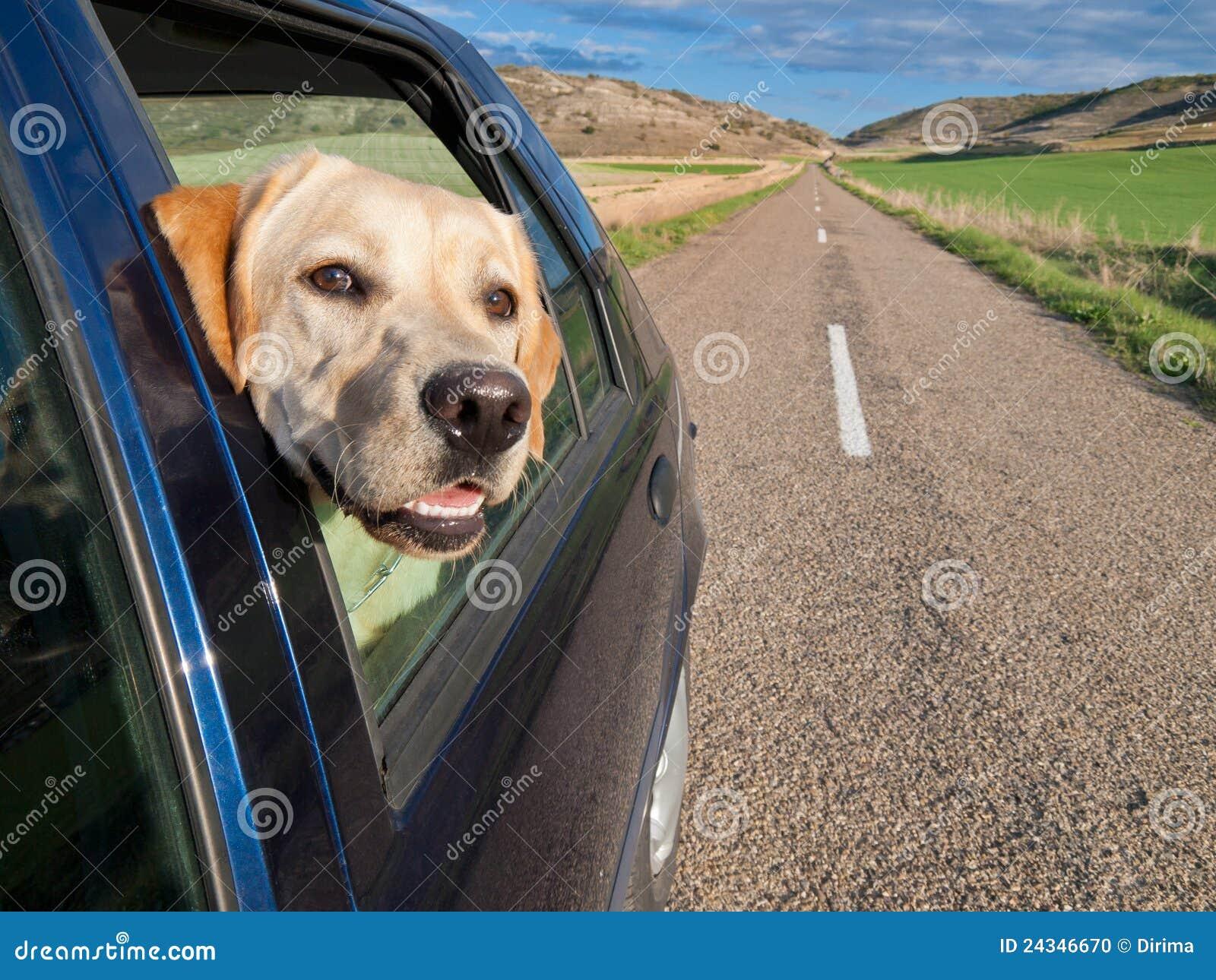 Hond die in Auto reist
