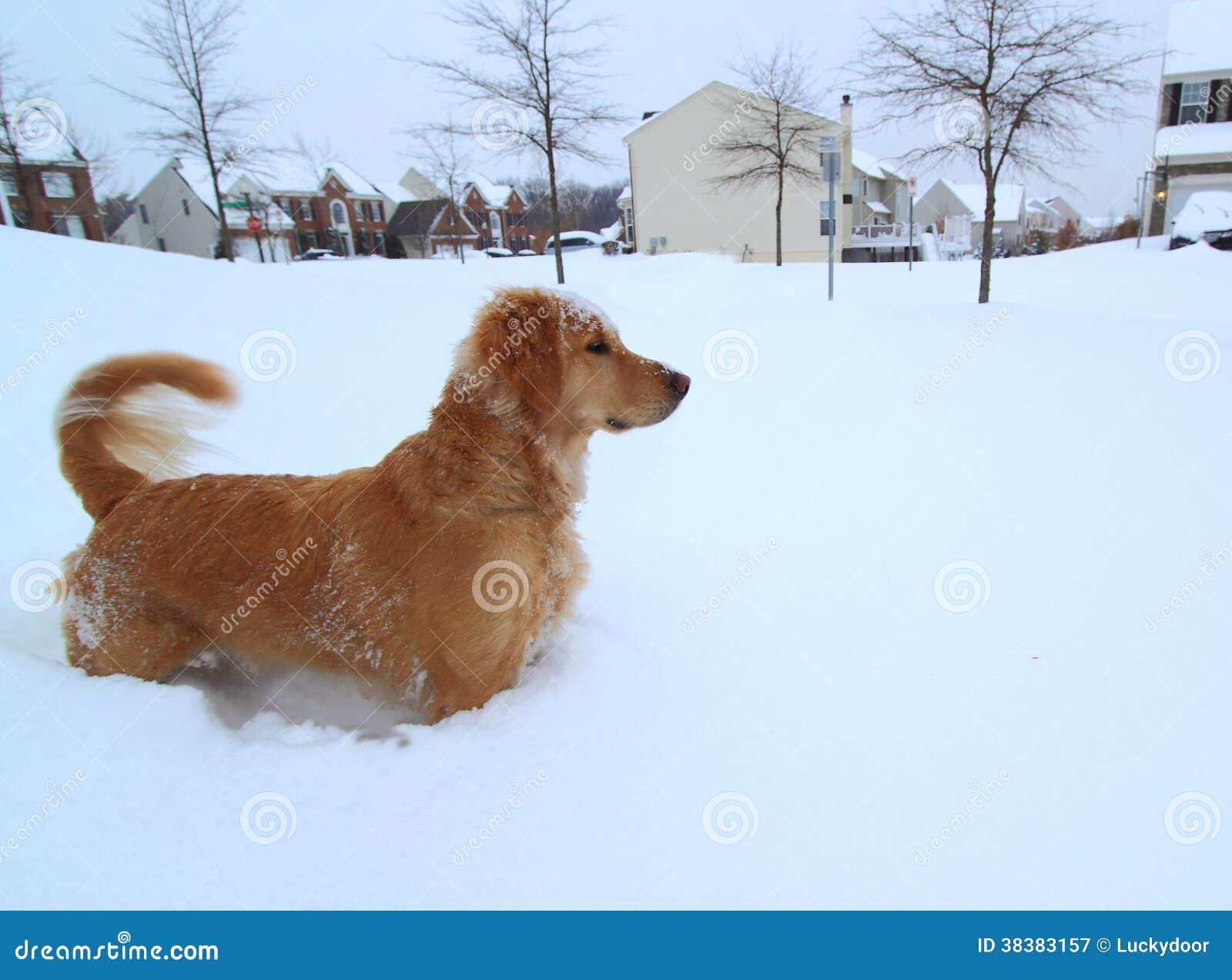 Hond die in Blizzard lopen
