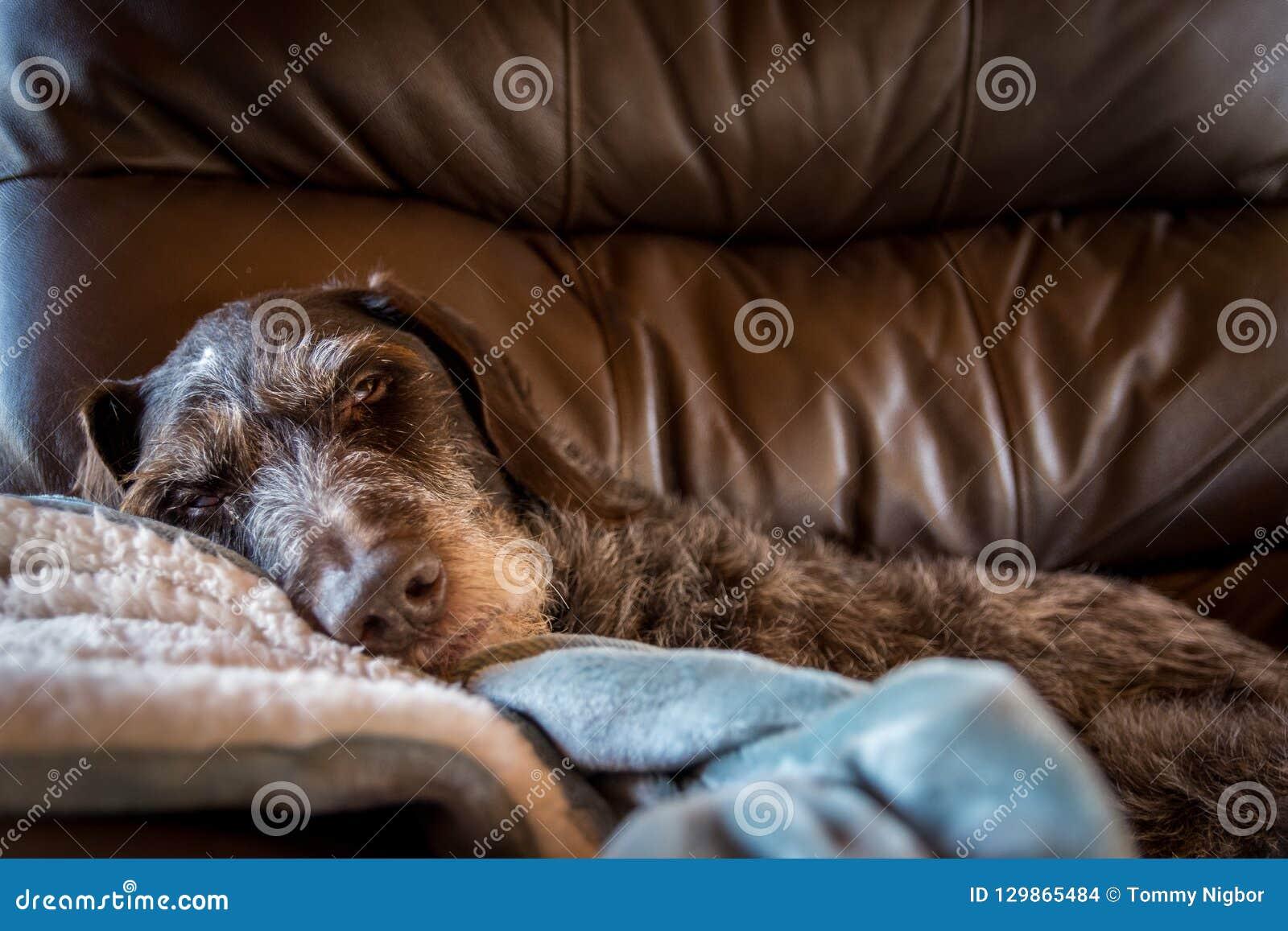 Hond die dutje als grote leervoorzitter nemen die zeer confortable kijken