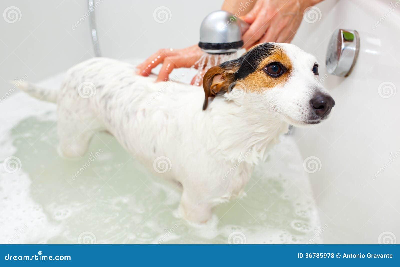 Hond die een bad in een badkuip nemen royalty vrije stock foto 39 s afbeelding 36785978 - Foto in een bad ...