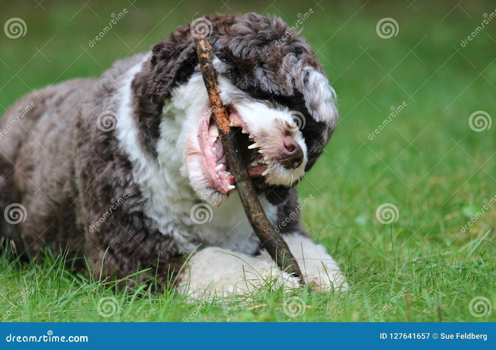Hond die een stok kauwen