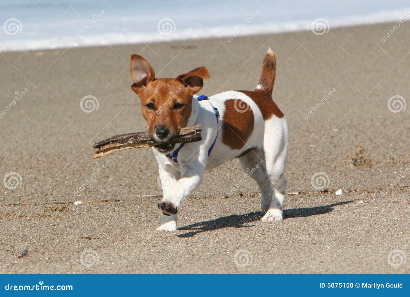 Hond die met stok loopt