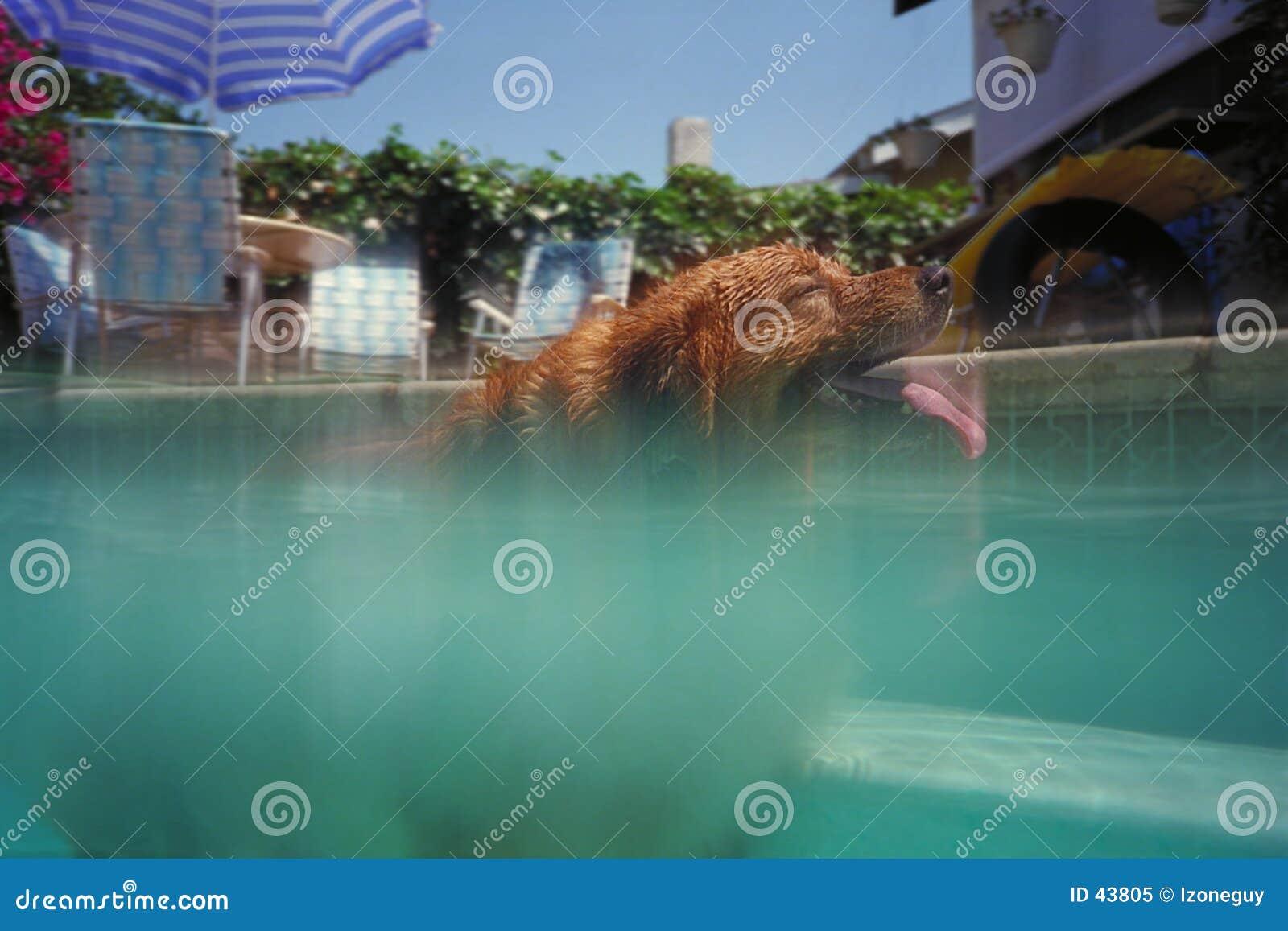Hond die in pool zwemt
