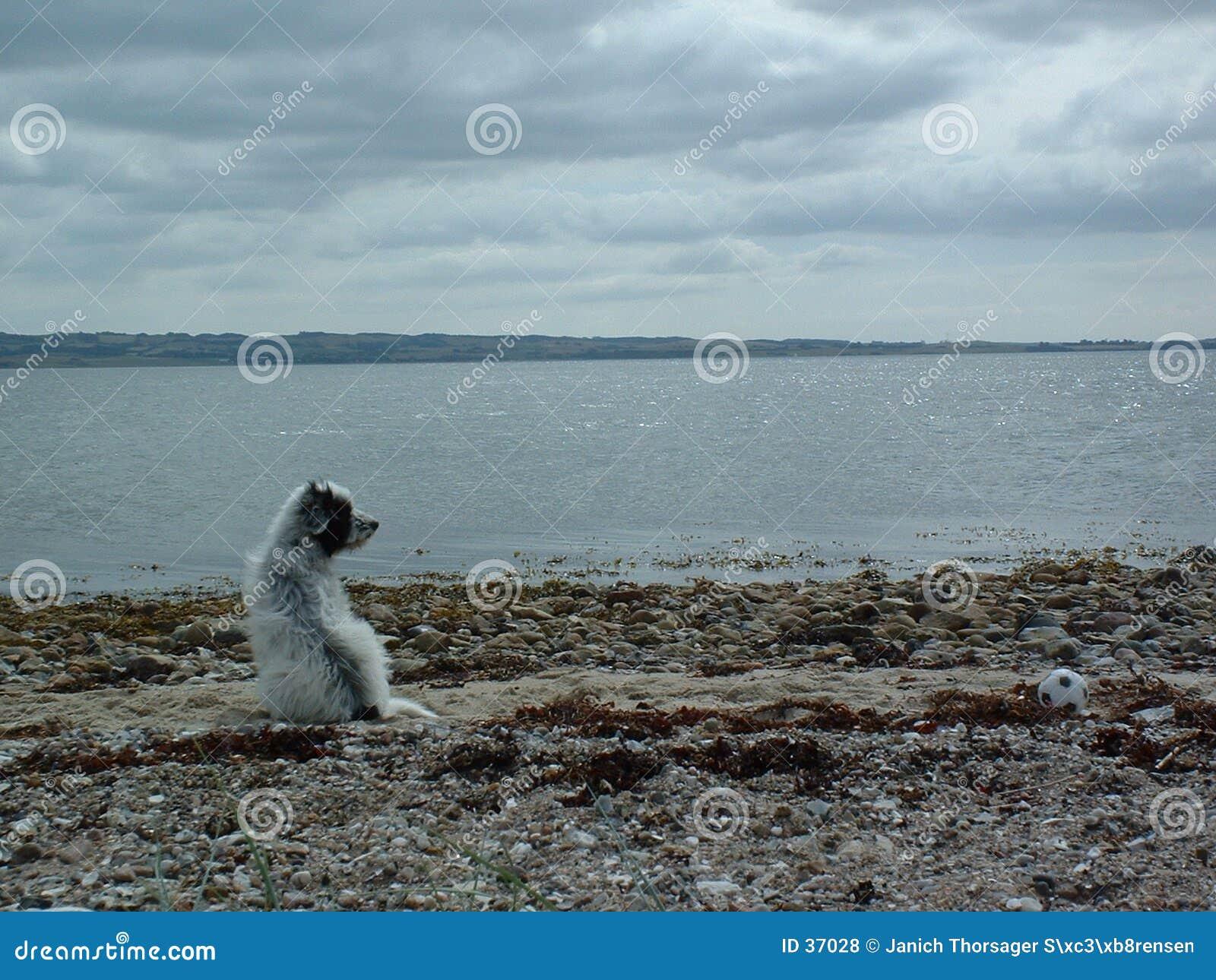 Download Hond door het overzees stock foto. Afbeelding bestaande uit overzees - 37028
