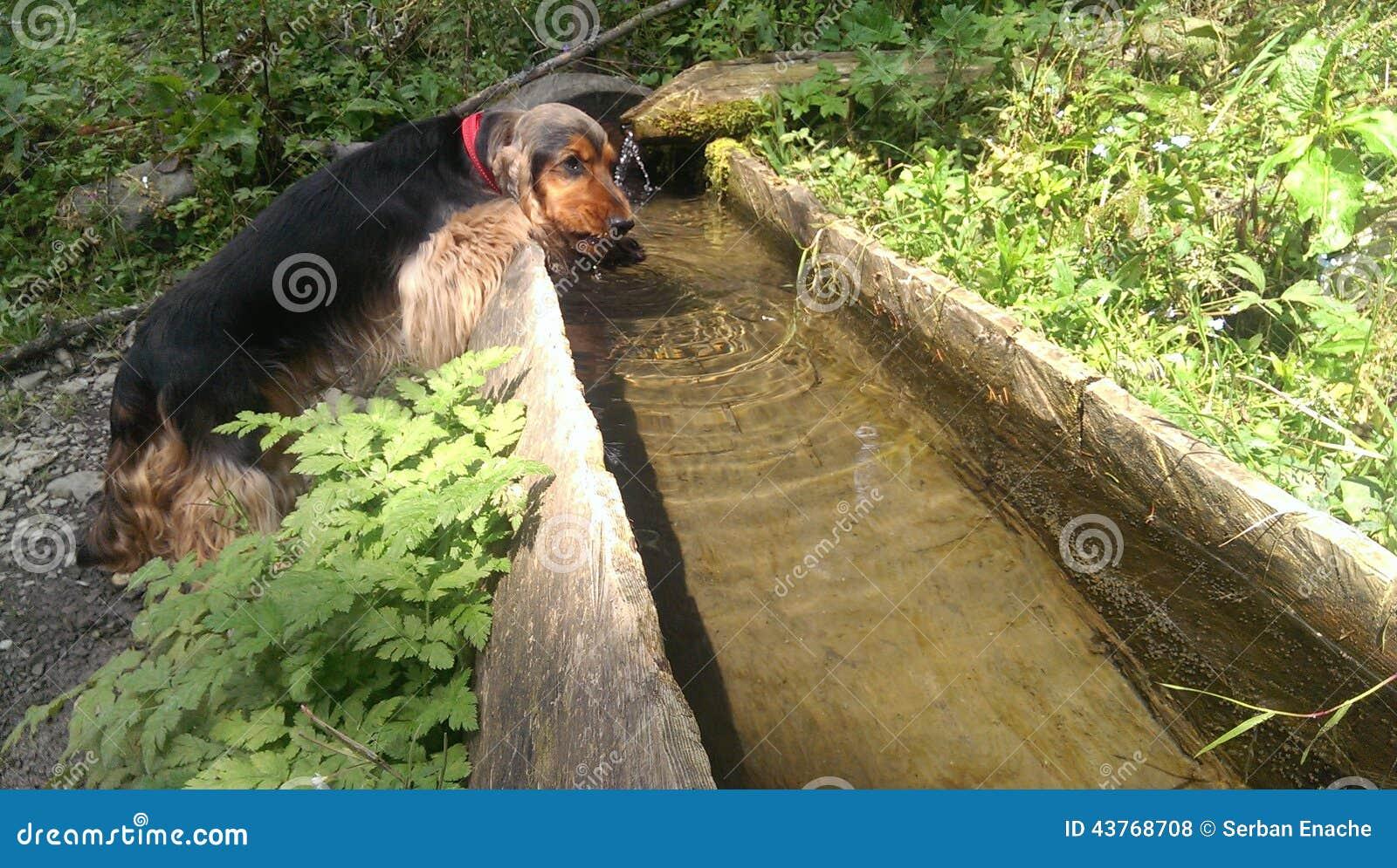 Hond drinkwater bij Apuseni-Berg