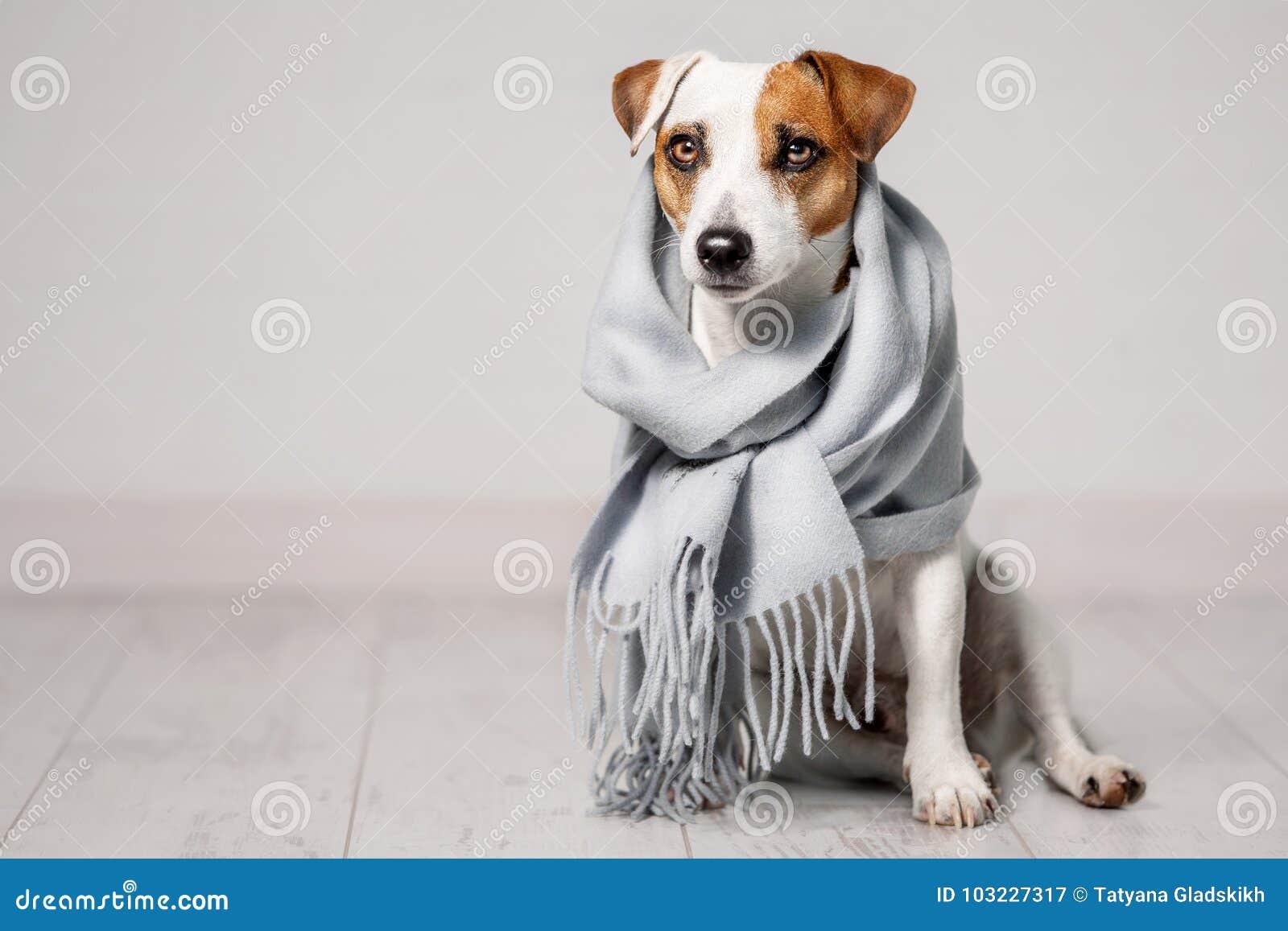 Hond in een sjaal wordt verpakt die