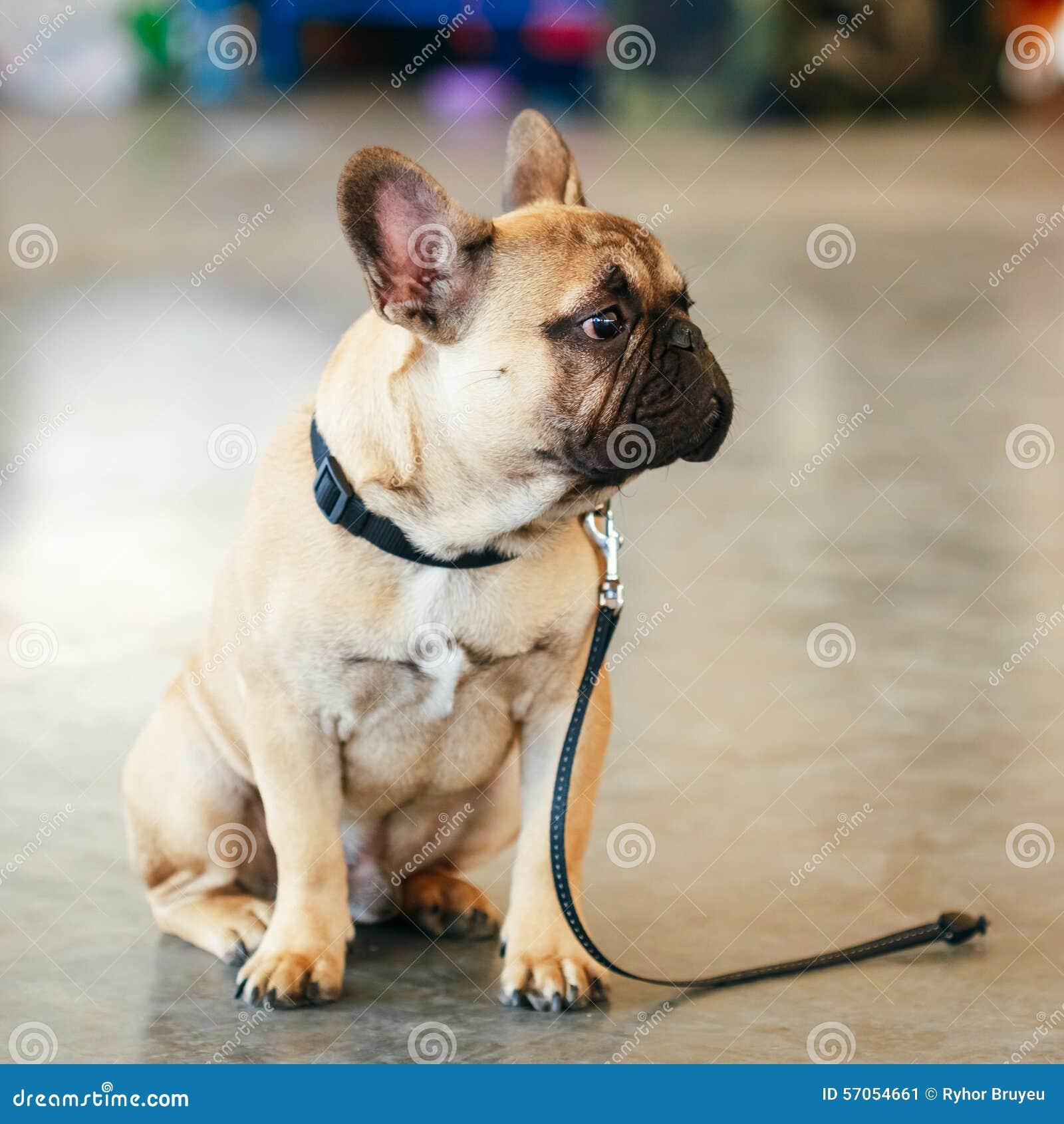 Hond Franse Buldog