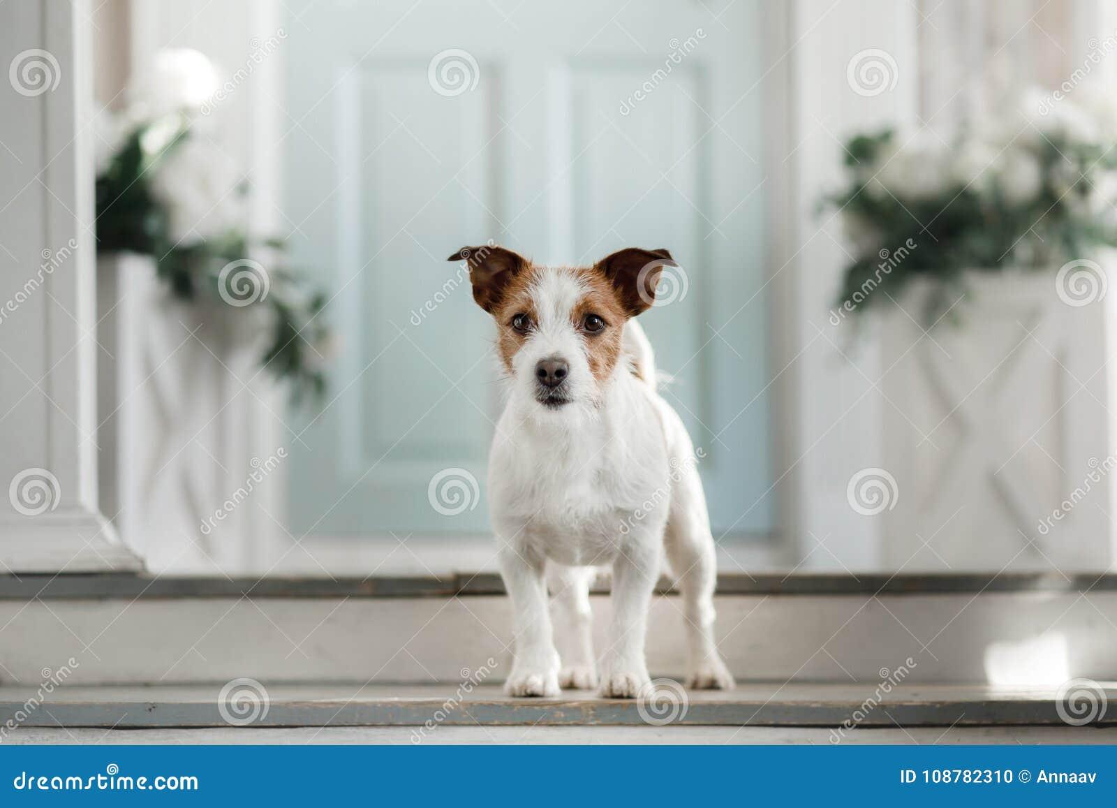 Hond Jack Russell Terrier op de portiek
