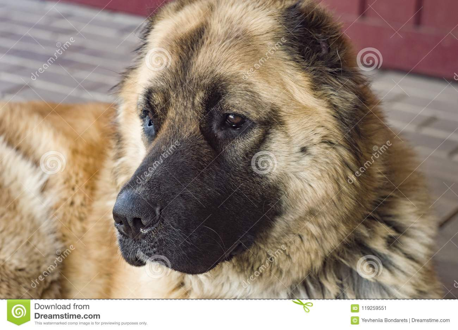 Hond Kaukasische herdershond twee jaar oude jpg